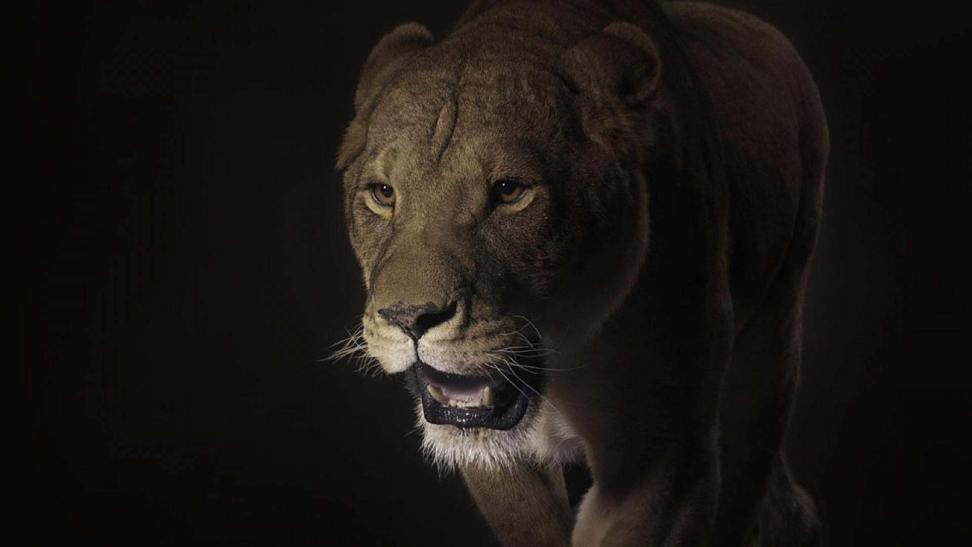 Wallpaper lion, face, shadow, dark, predator, big cat
