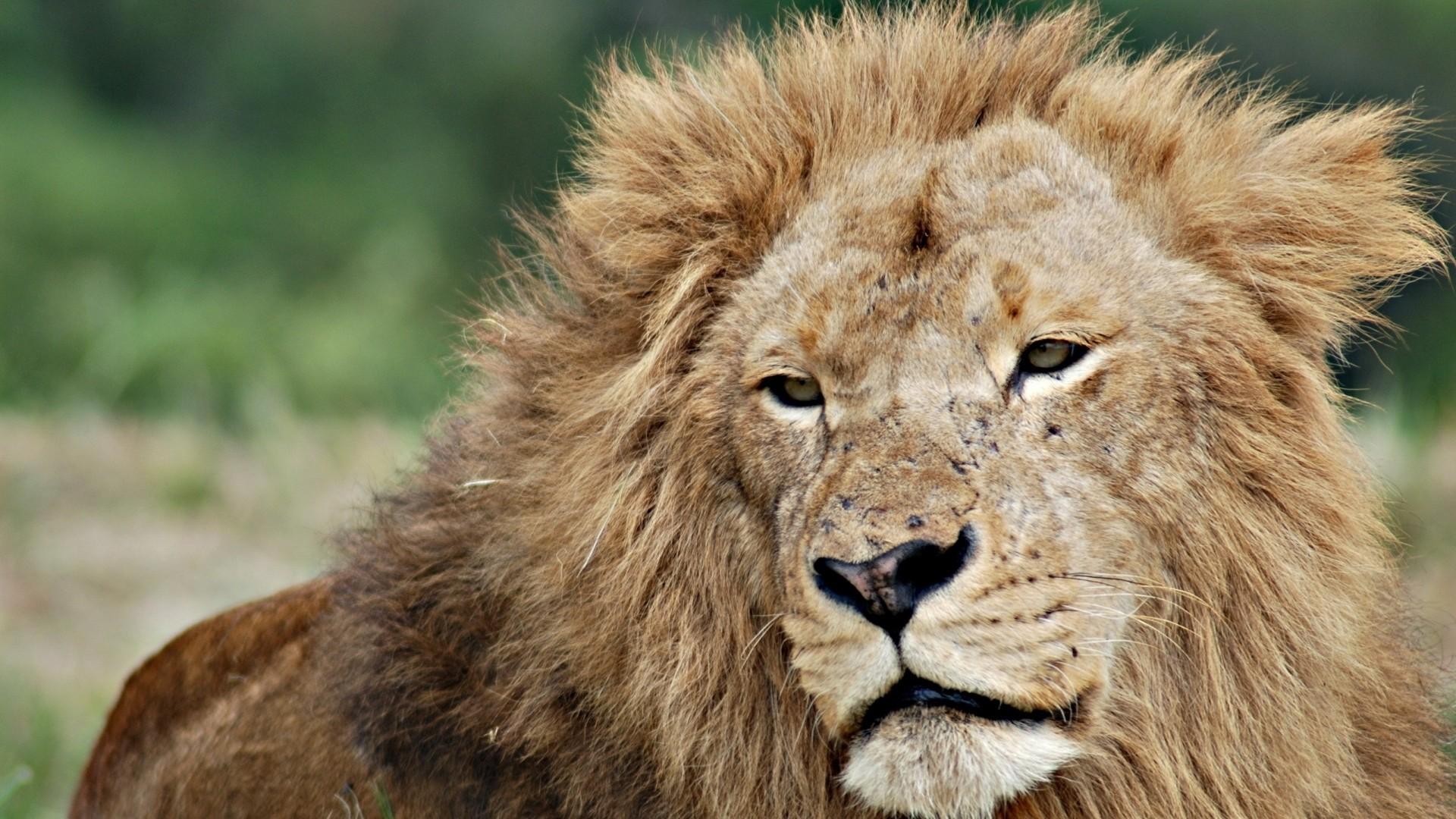 Wallpaper lion, face, mane, eyes, king of beasts
