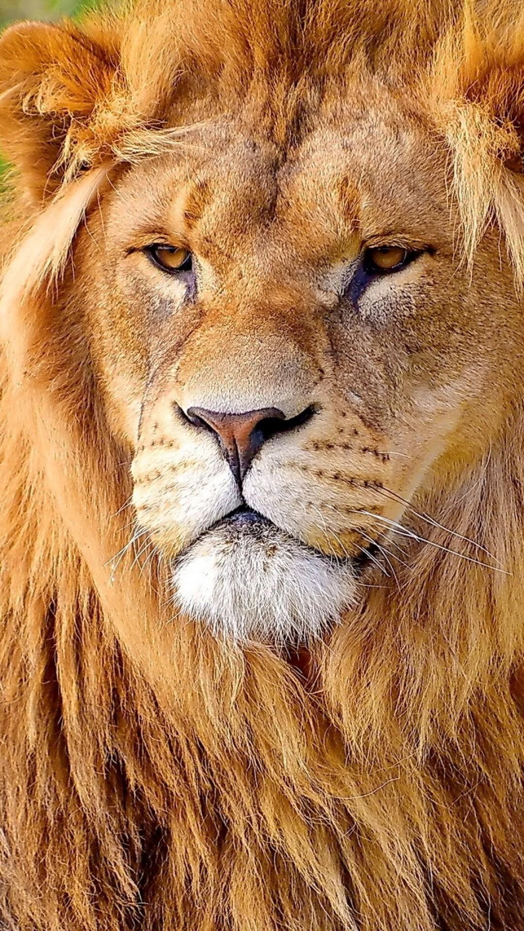 Wallpaper lion, face, big cat, carnivore, mane