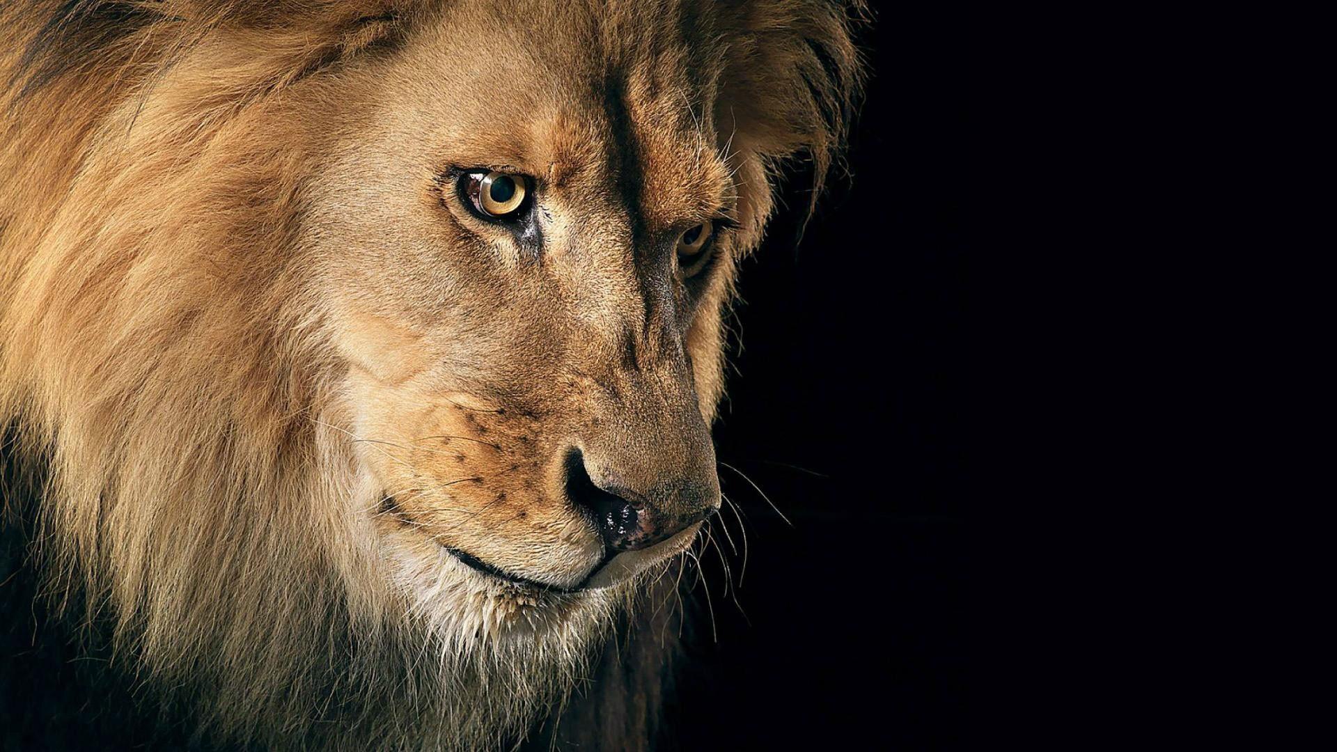 hd pics photos best beautiful lion face close up attractive hd quality  desktop background wallpaper