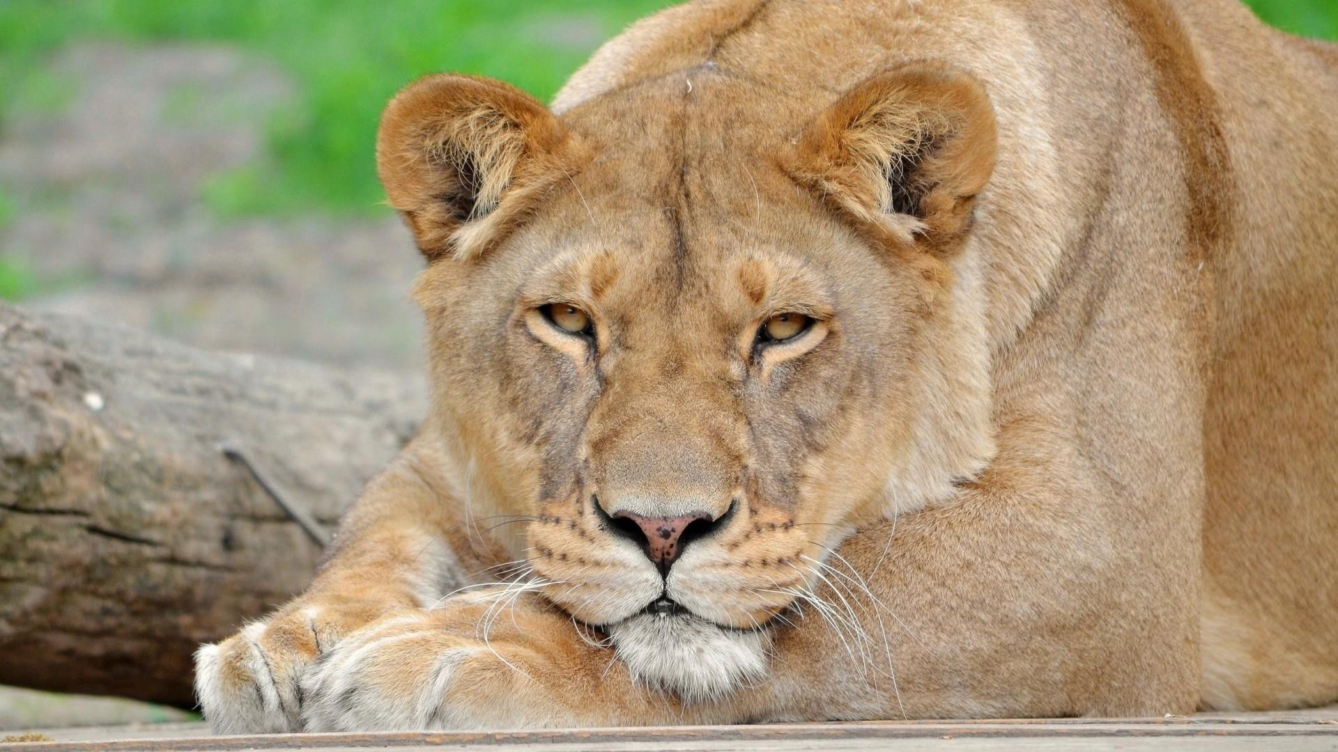 Wallpaper lion, face, eyes, big cat