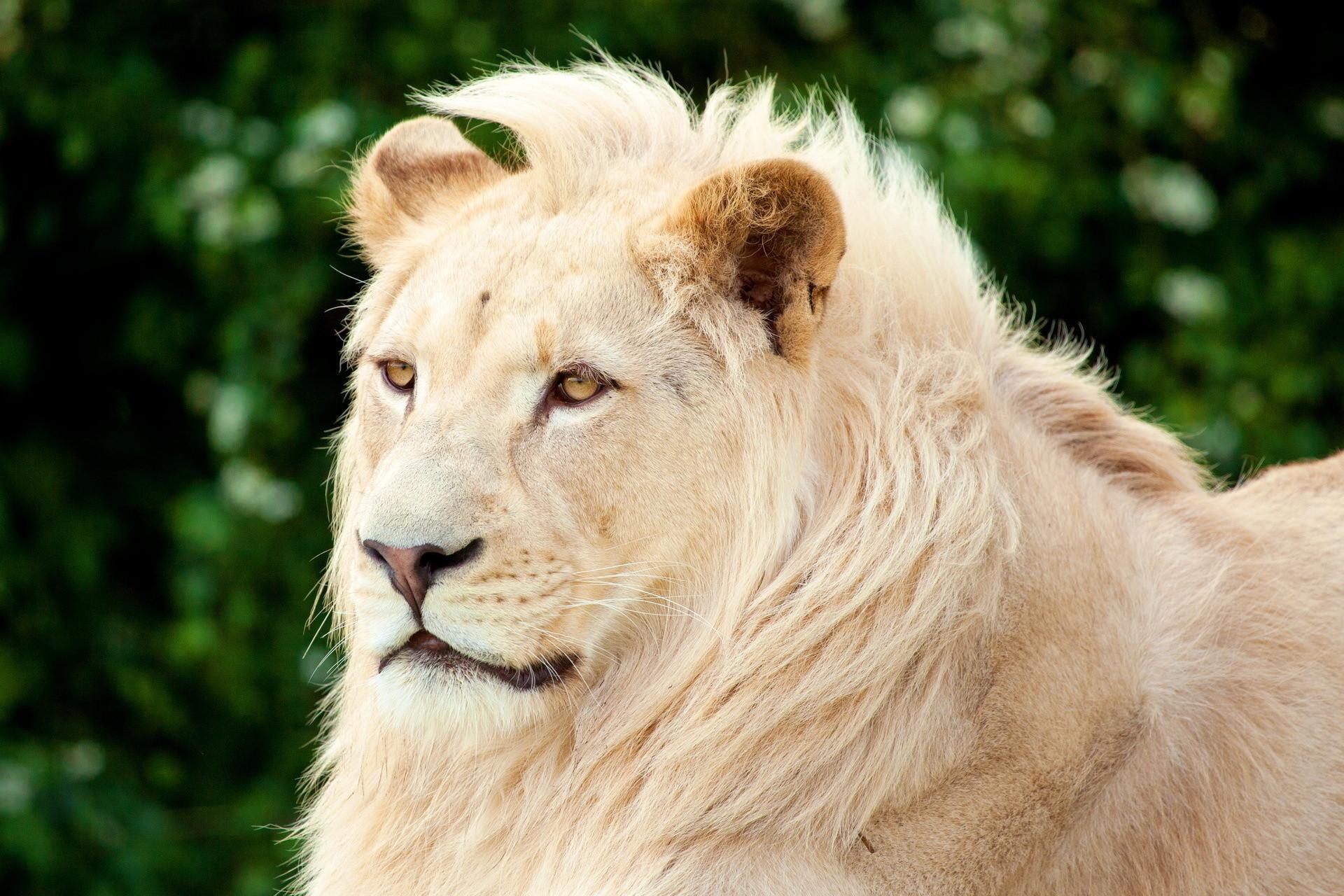 White Lion Closeup Wallpaper – White Lion Face Closeup