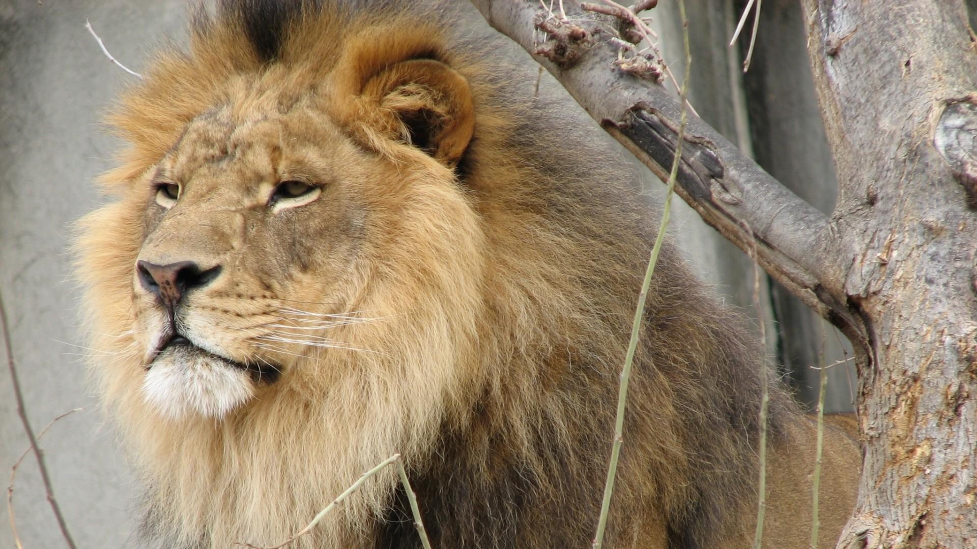 Wallpaper lion, face, mane, tree