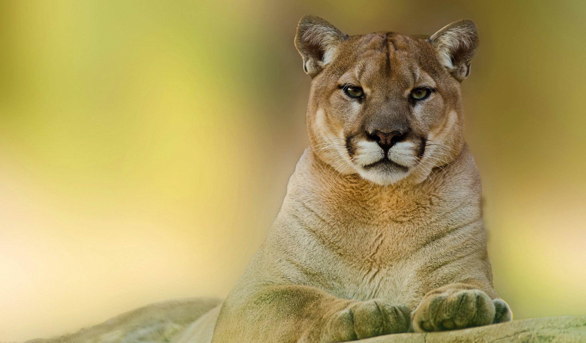 puma mountain lion face view predator