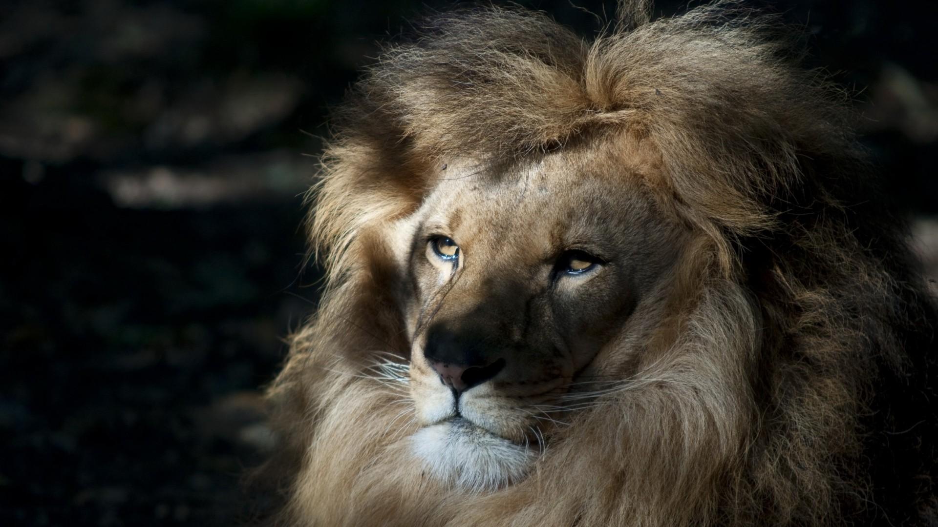 Wallpaper lion, face, shadow, mane, predator