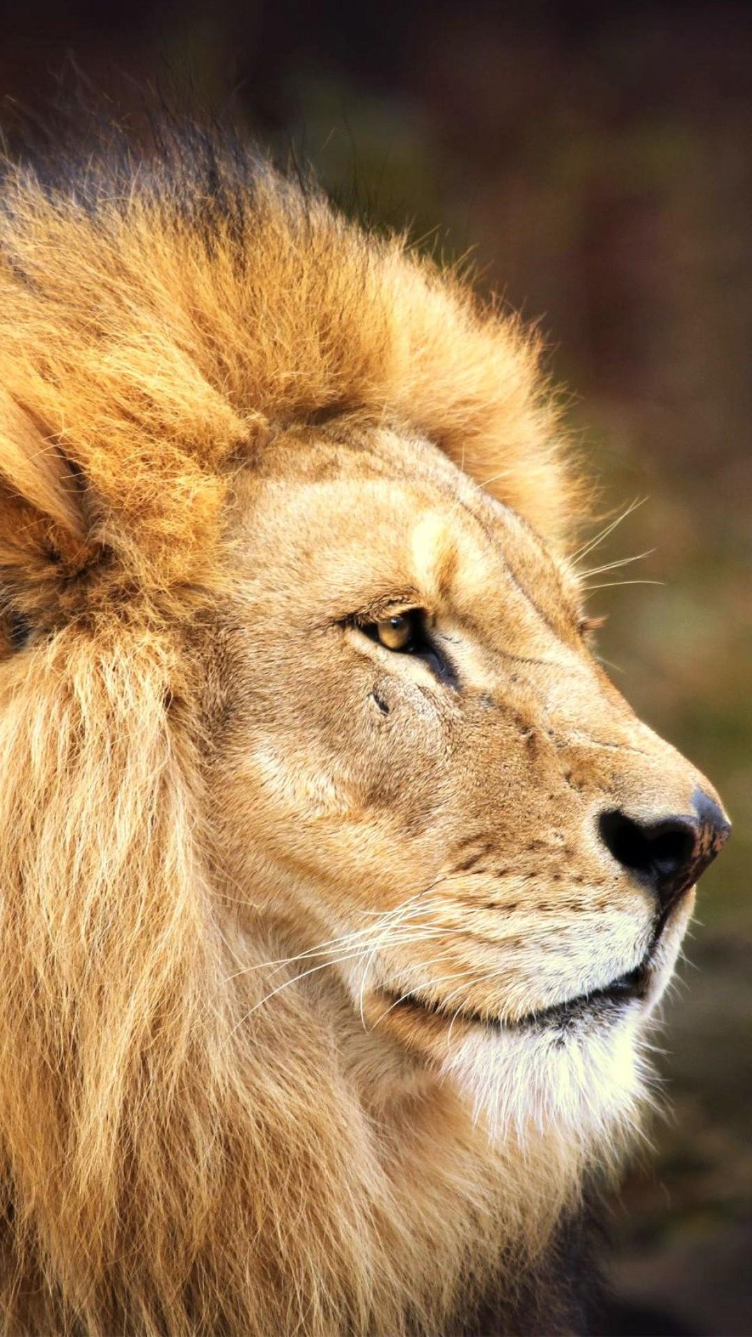 Wallpaper lion, face, mane, big cat, predator