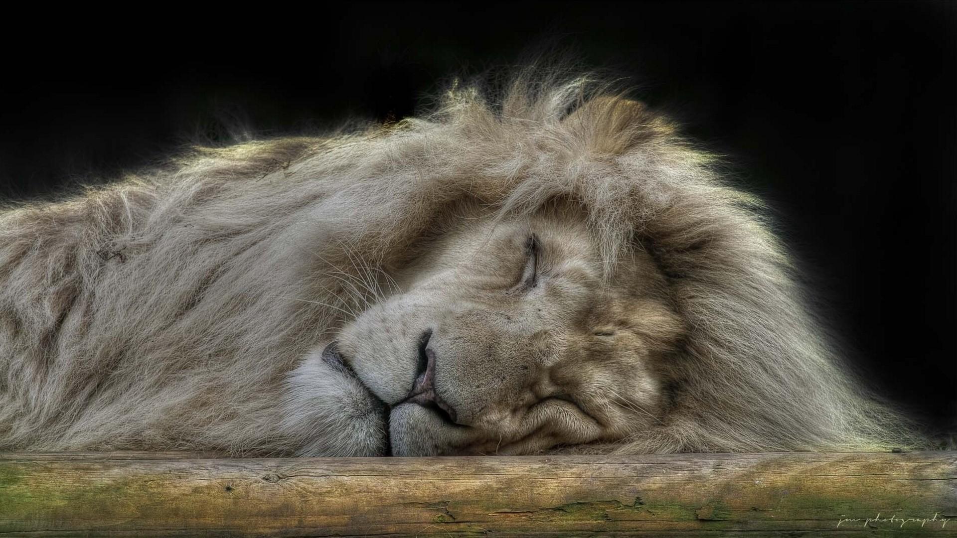Wallpaper lion, face, sleep, furry, big cat, predator