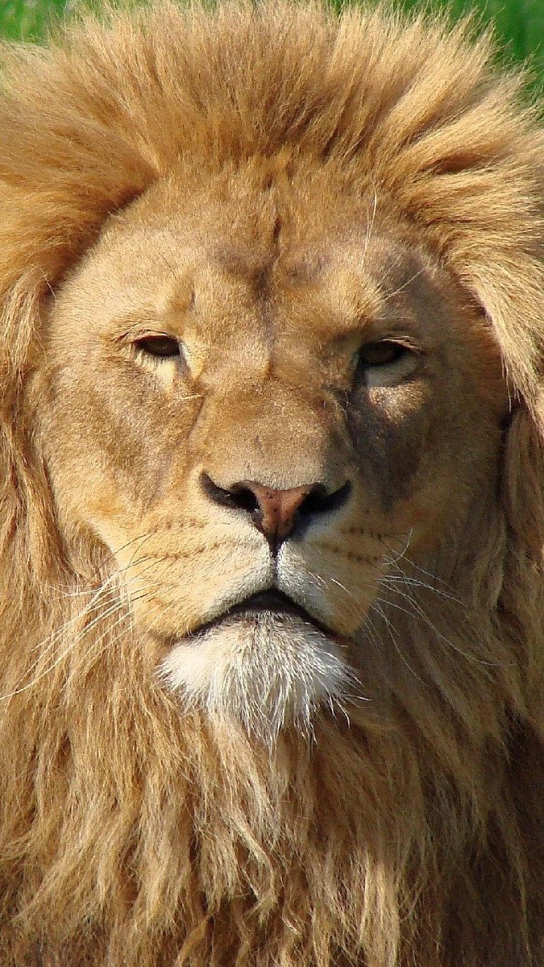 Wallpaper lion, face, mane, fur, big cat, predator