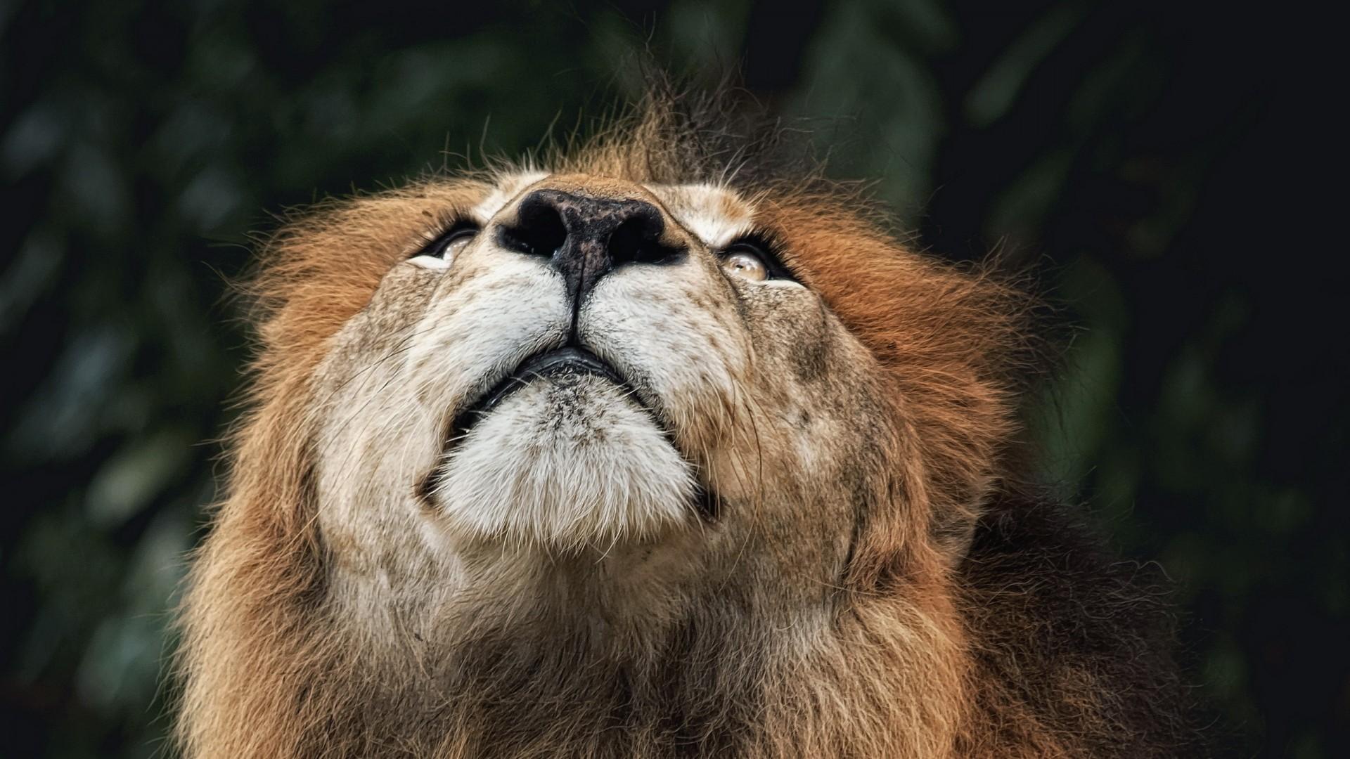 Wallpaper lion, face, nose, looking upwards