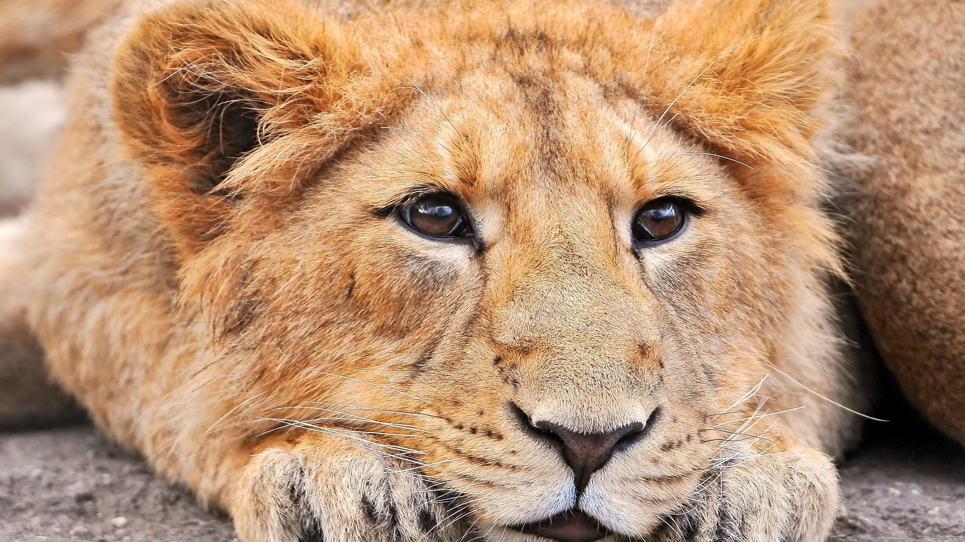Related Wallpapers lion, face. Preview lion