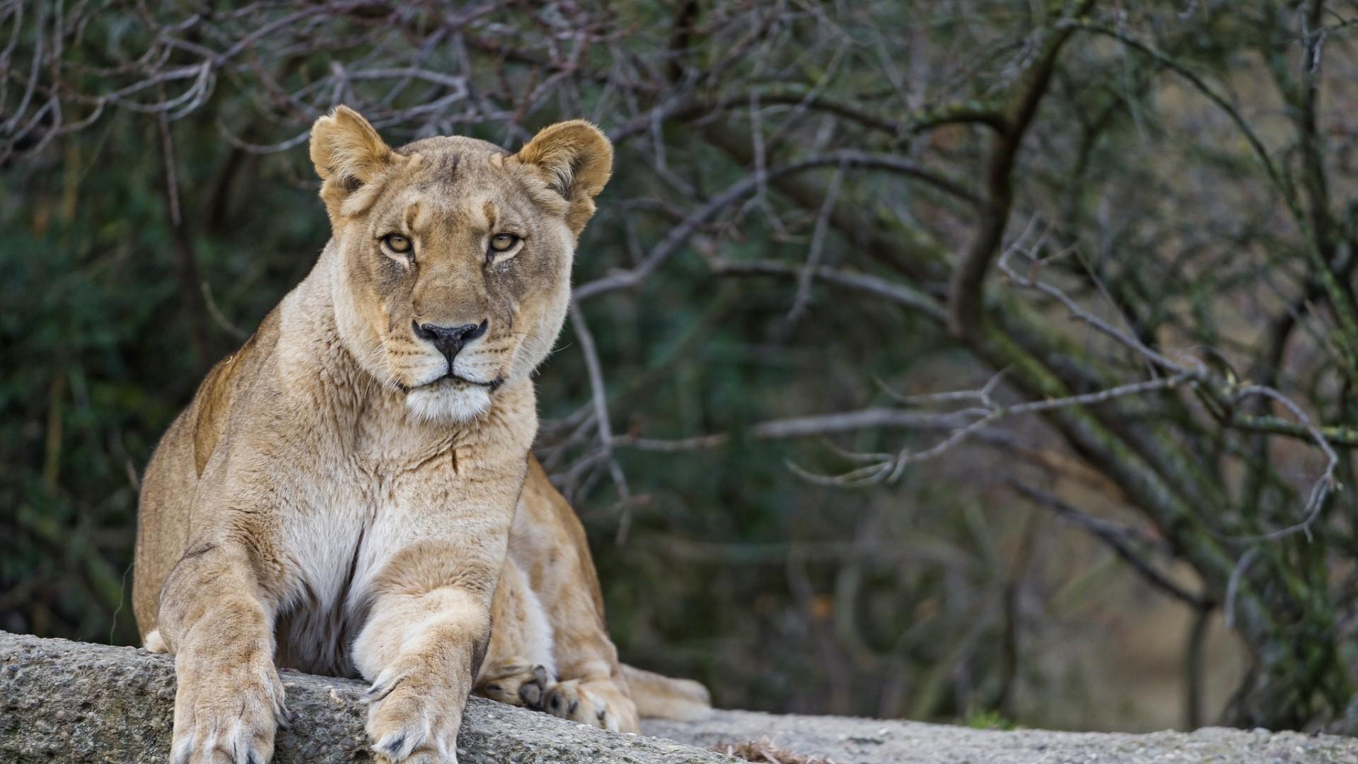 Wallpaper lion, lioness, face, lie