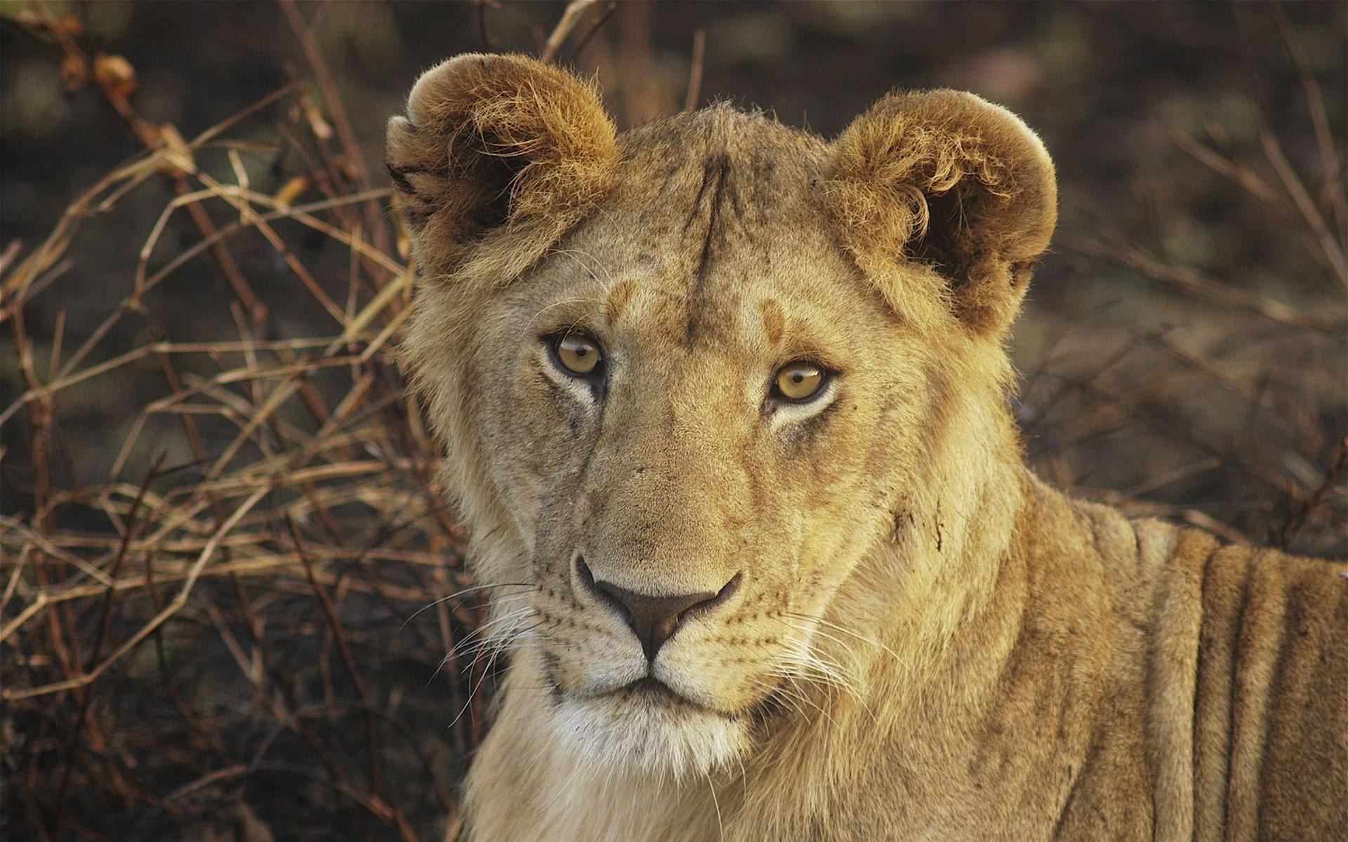 Wallpaper lion, young, face, big cat, cute
