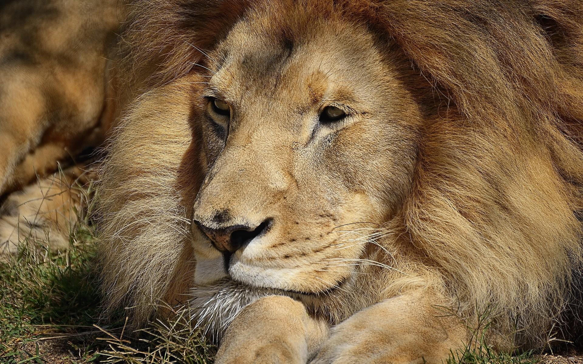 lion face big cat