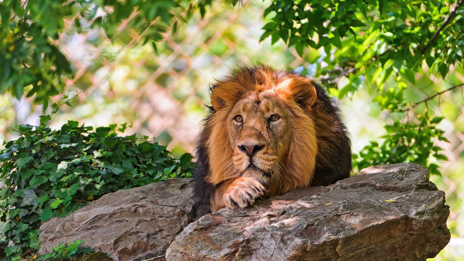 Wallpaper lion, face, stones, lie, king of beasts, big cat