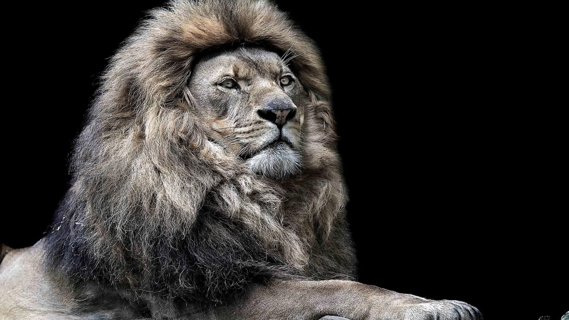 lion free computer wallpaper download