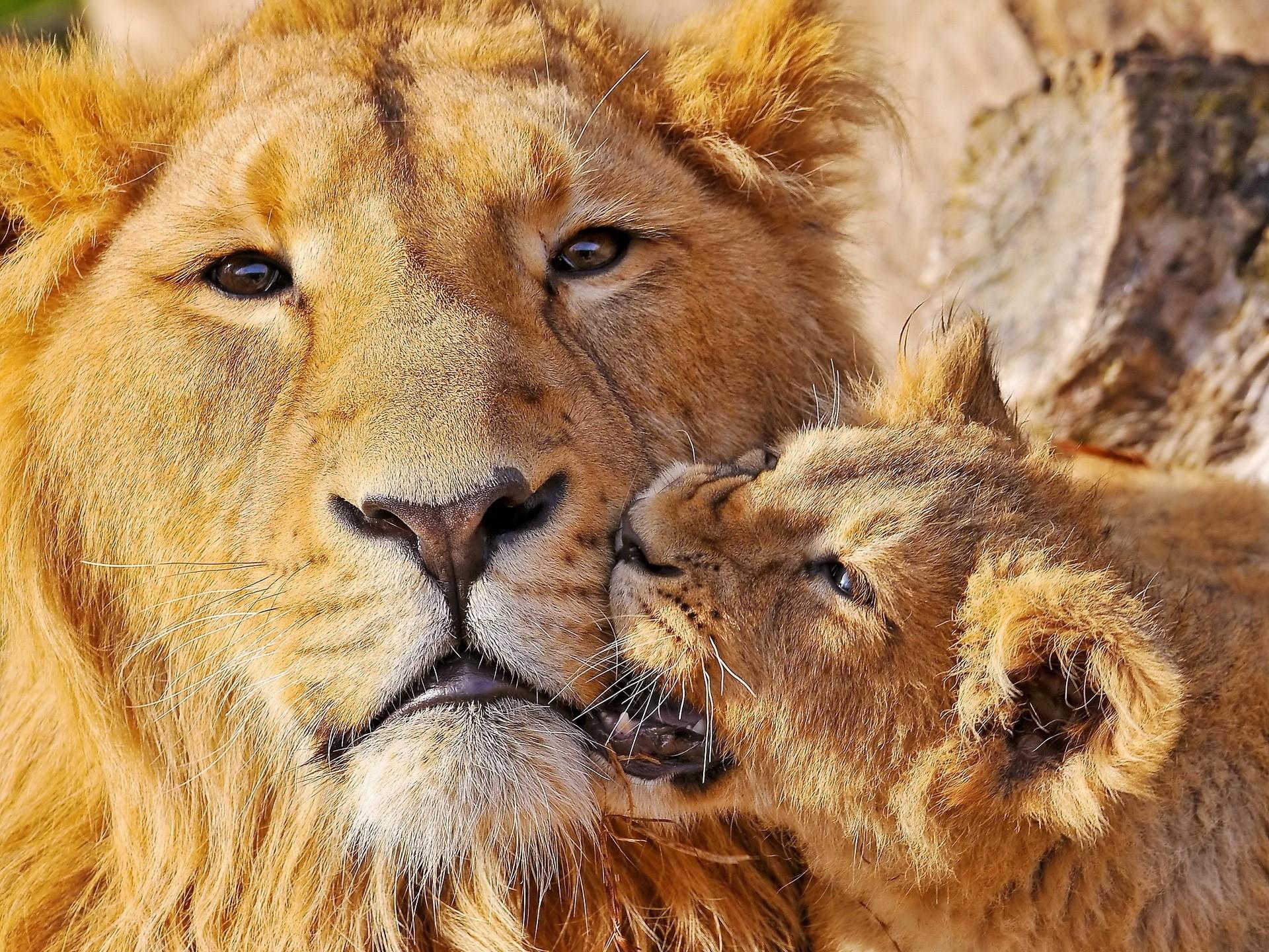Wallpaper lion, face, cub, playful, caring
