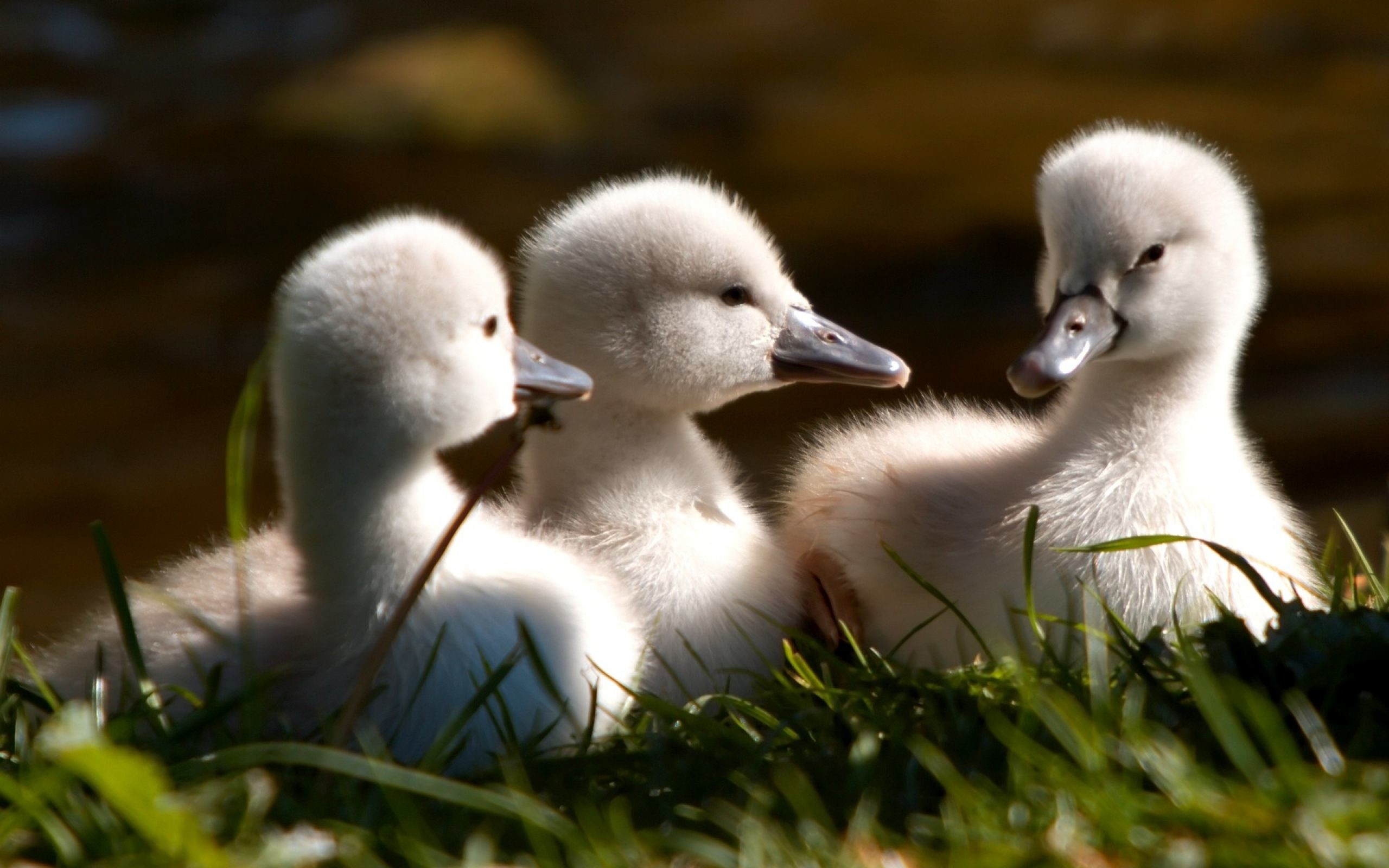 Baby Ducks HD Wallpaper