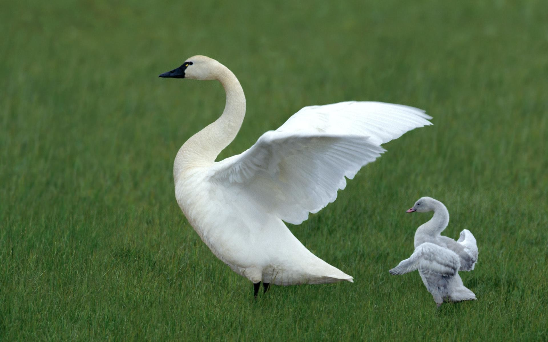 Baby Swan and Baby Duck