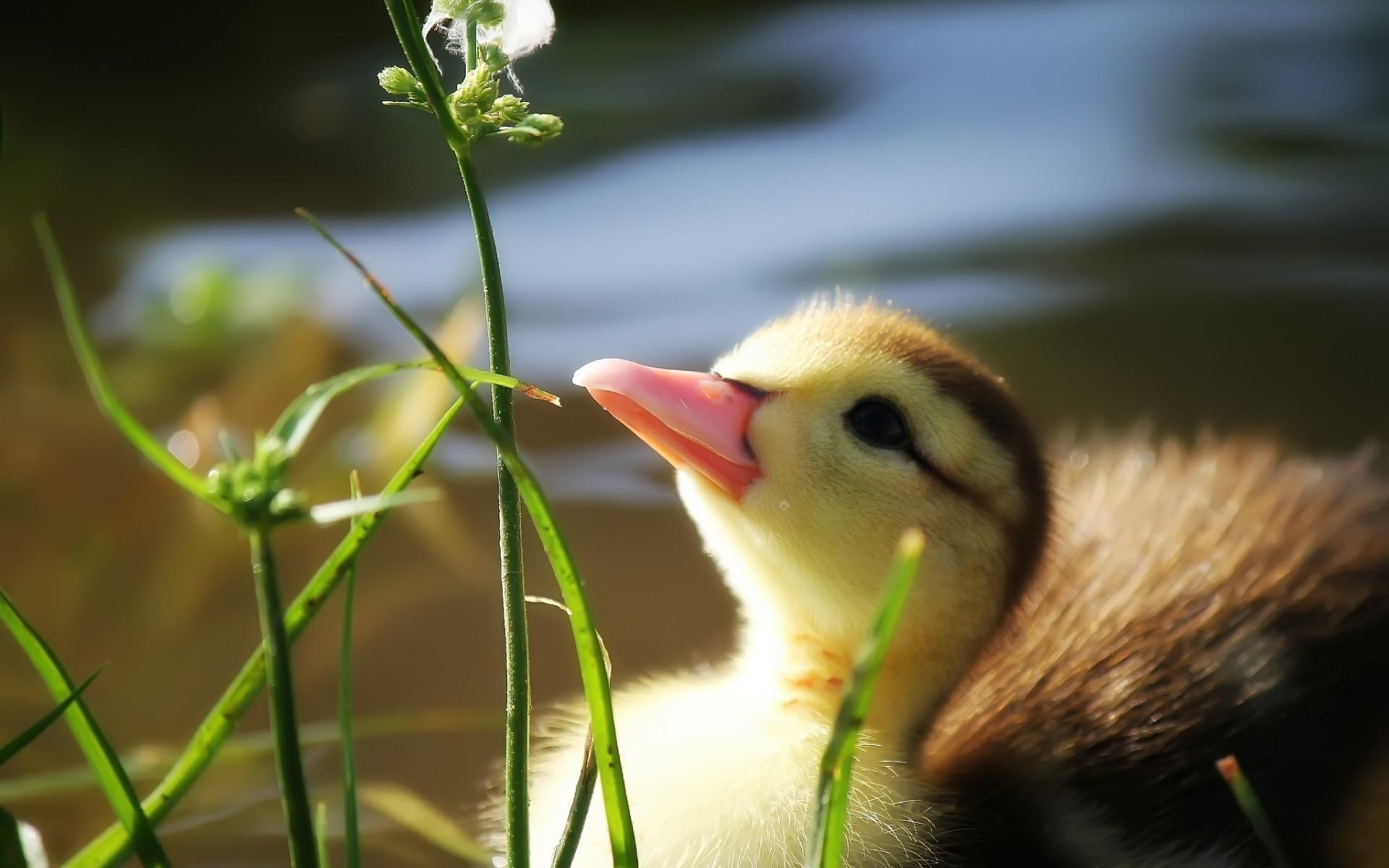Duck grass beak pond water duckling wallpaper | | 70405 |  WallpaperUP
