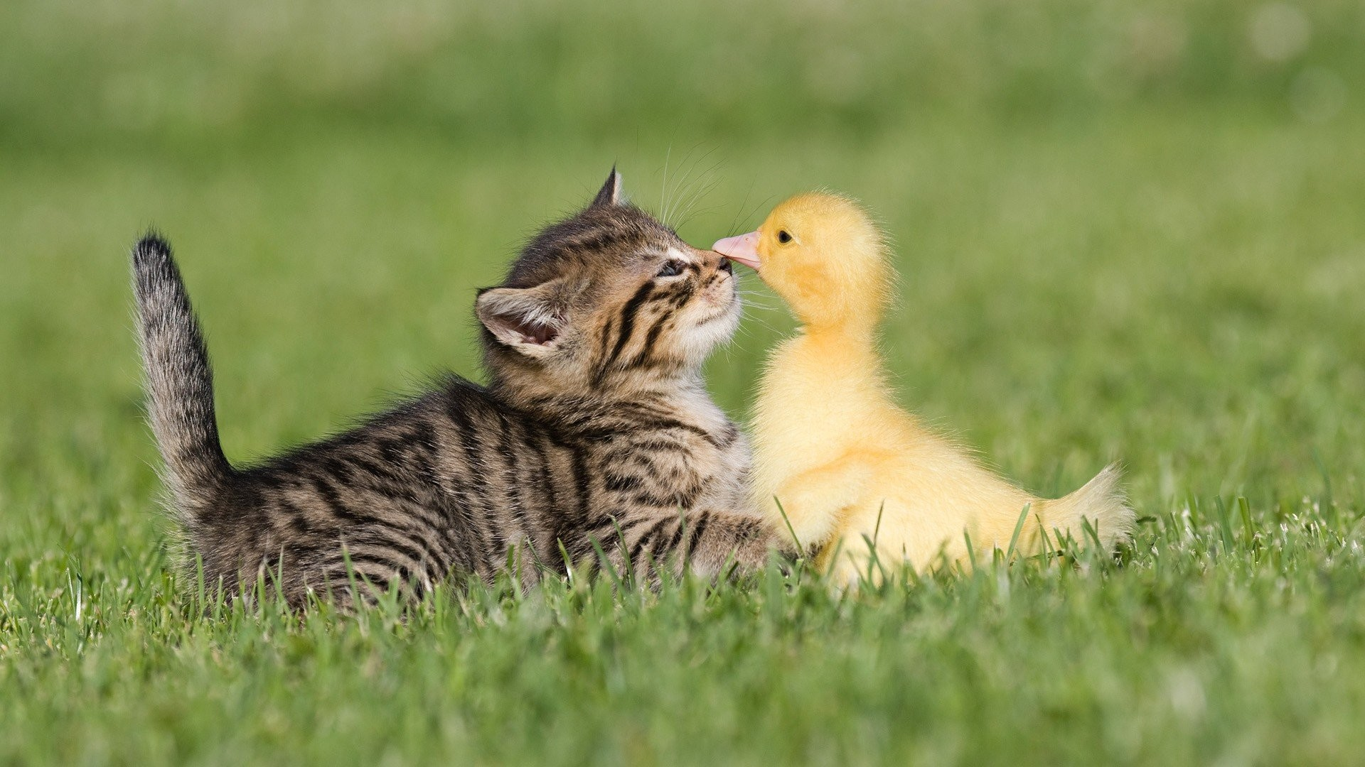 Birds cats animals ducks duckling kittens baby birds wallpaper |  | 281480 | WallpaperUP