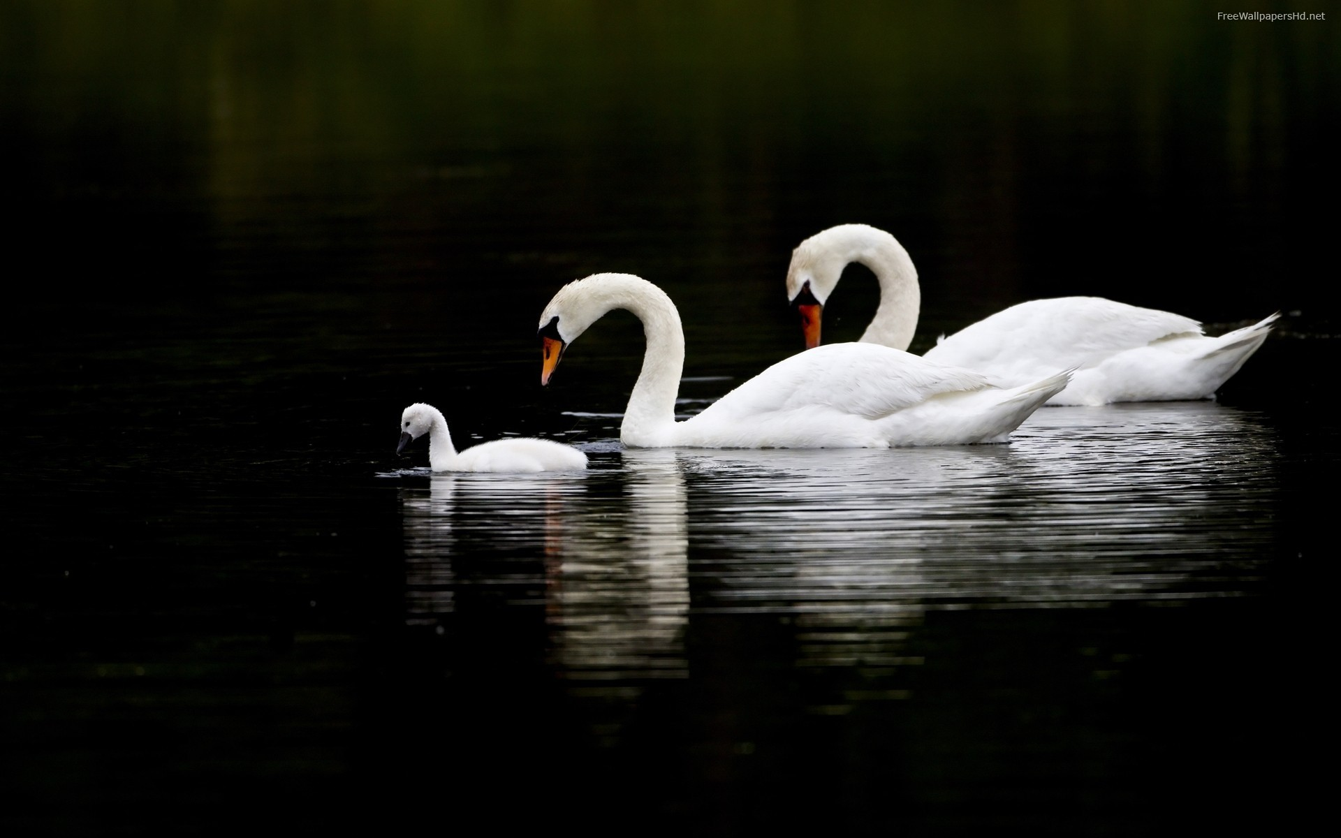 Related wallpapers from Baby Swan and Baby Duck