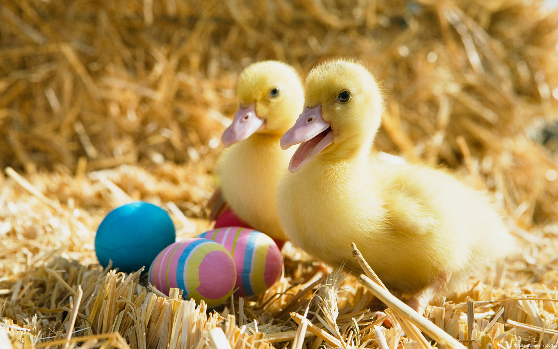 Ducklings and Easter Eggs wallpapers, Ducklings and Easter Eggs stock  photos,
