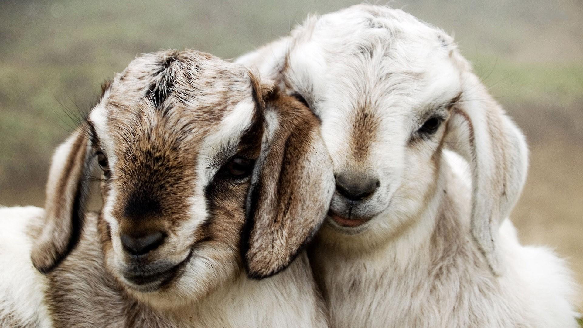 Goat Wallpaper