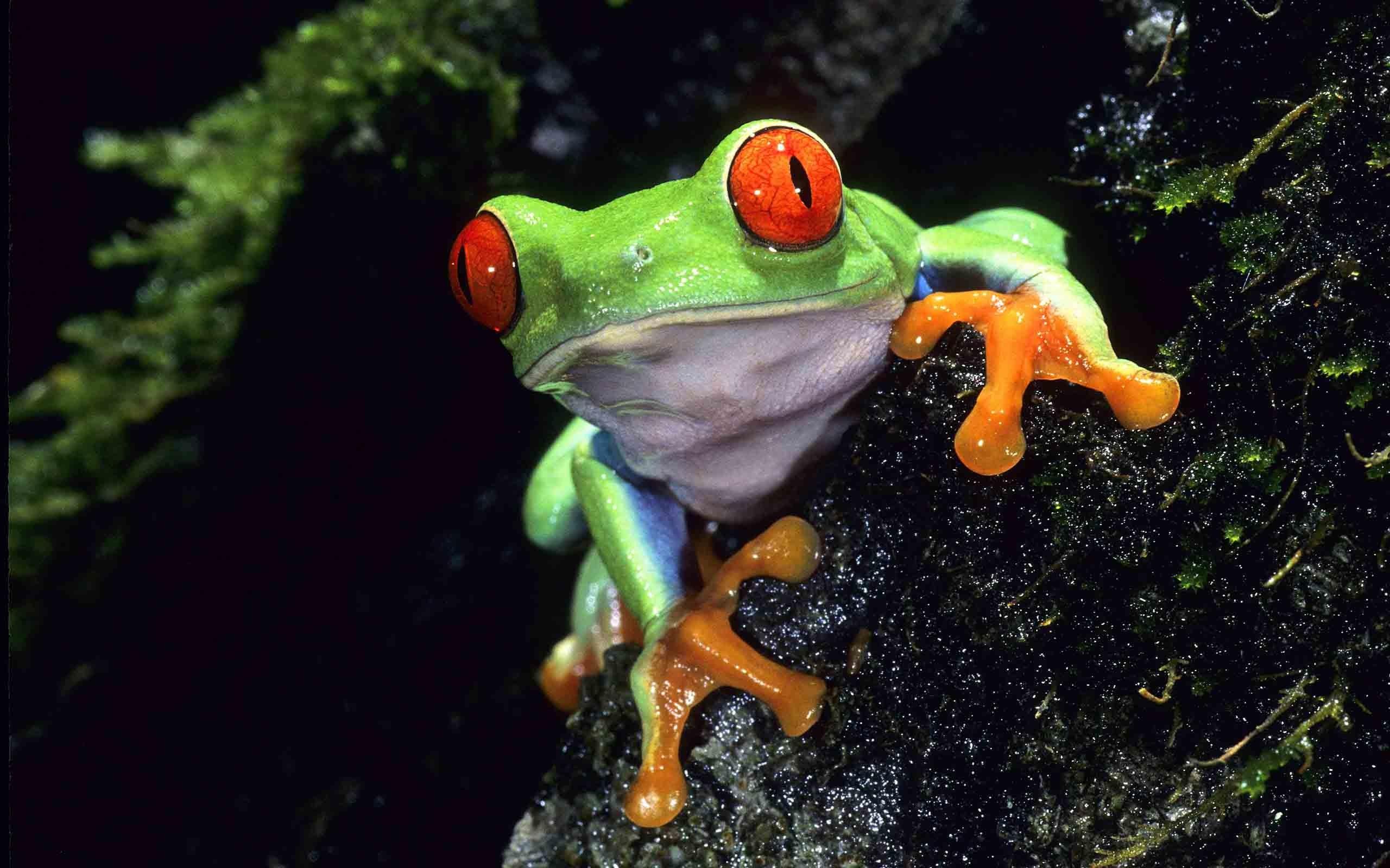 Green Frog Wallpaper