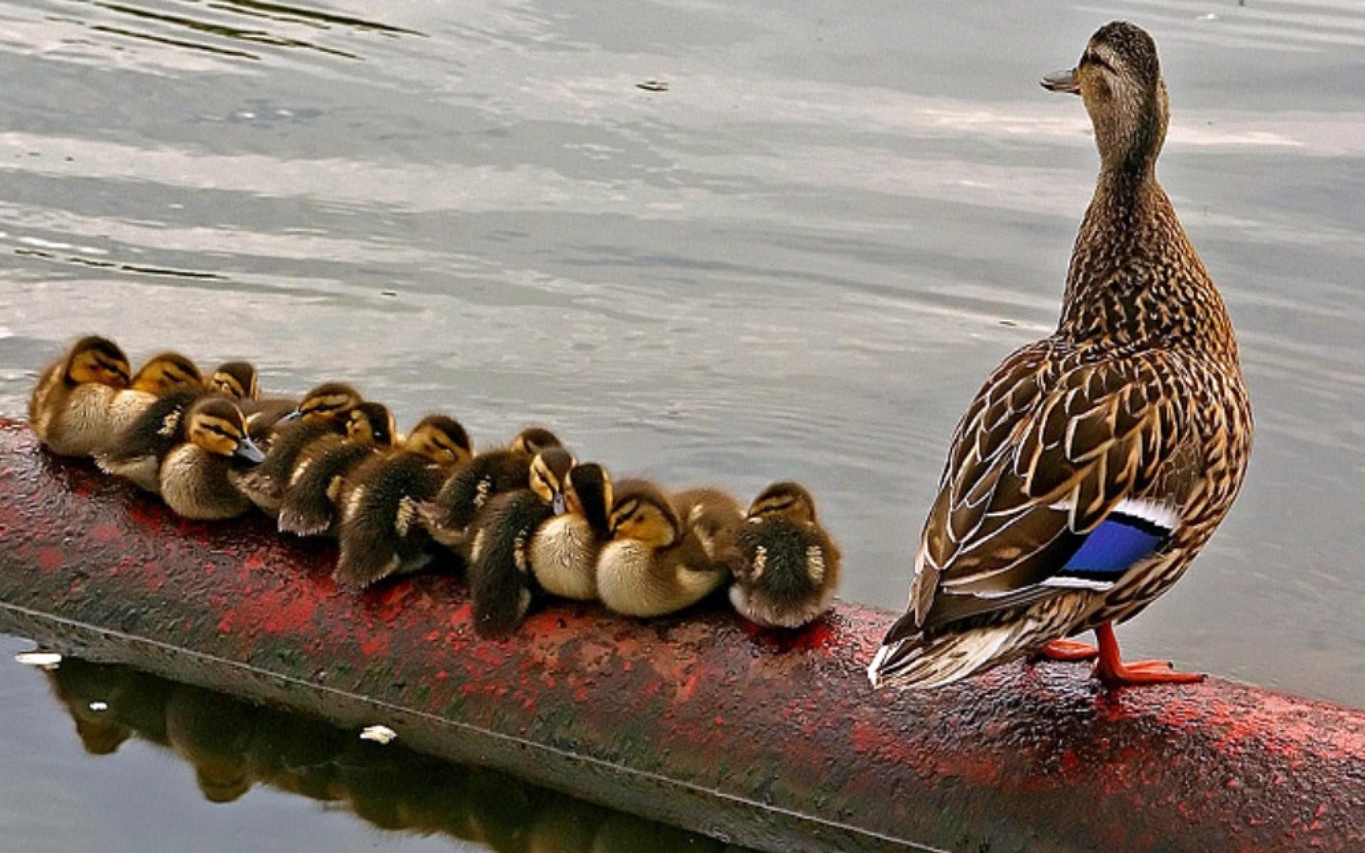 Birds ducks duckling baby birds wallpaper | | 294025 | WallpaperUP