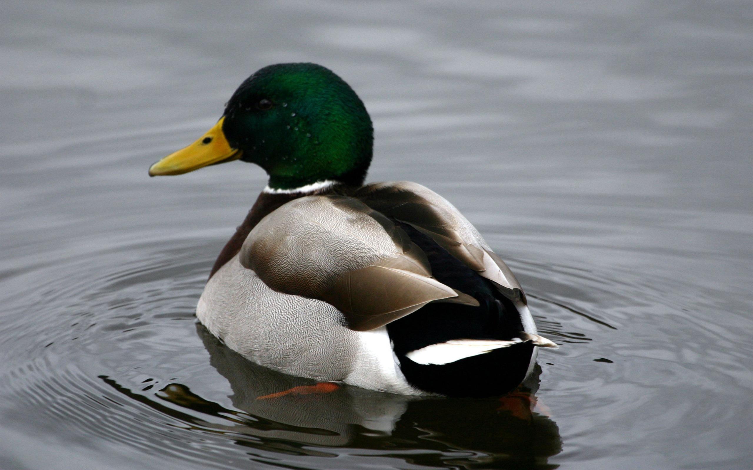 Mallard Duck Wallpaper | Mallard Duck Images | Cool Wallpapers