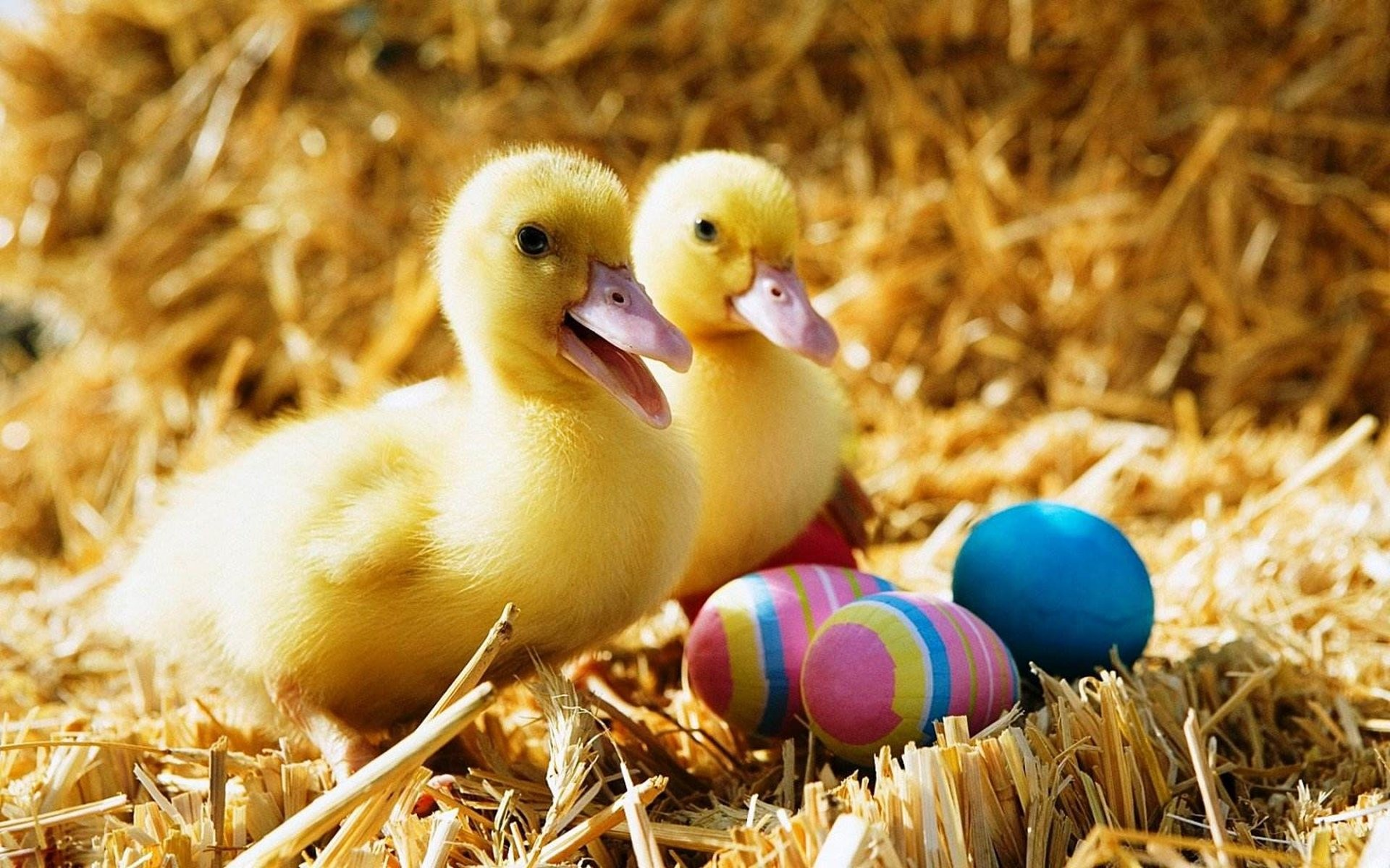 Baby Duck Wallpaper · Baby Duck And Colorful Easter Eggs HD Wallpaper #04101