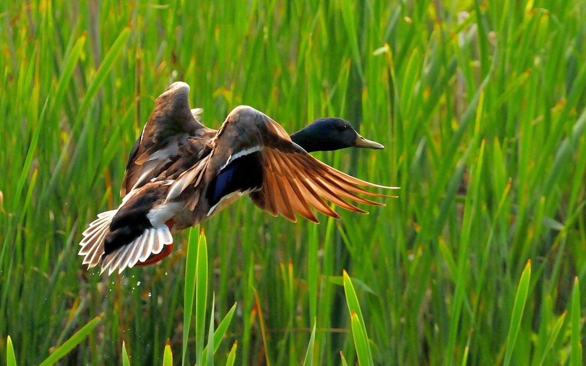 Wild duck flying Wild Nature HD Wallpaper