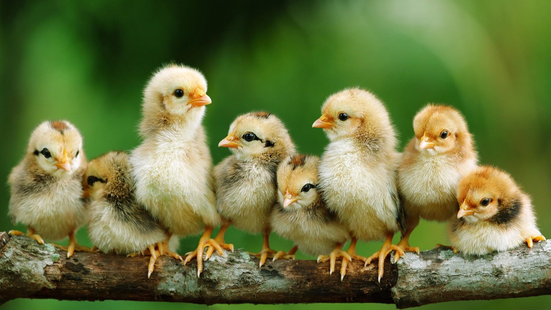Chicken Desktop Wallpaper (10) .