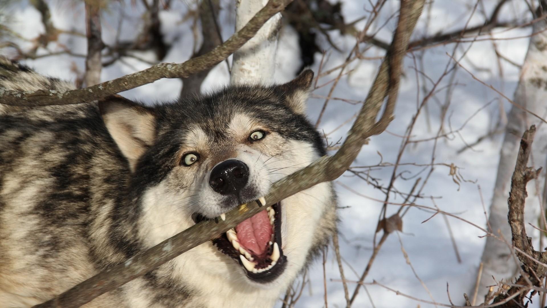 Preview wallpaper wolf, branch, teeth, dog, predator 1920×1080
