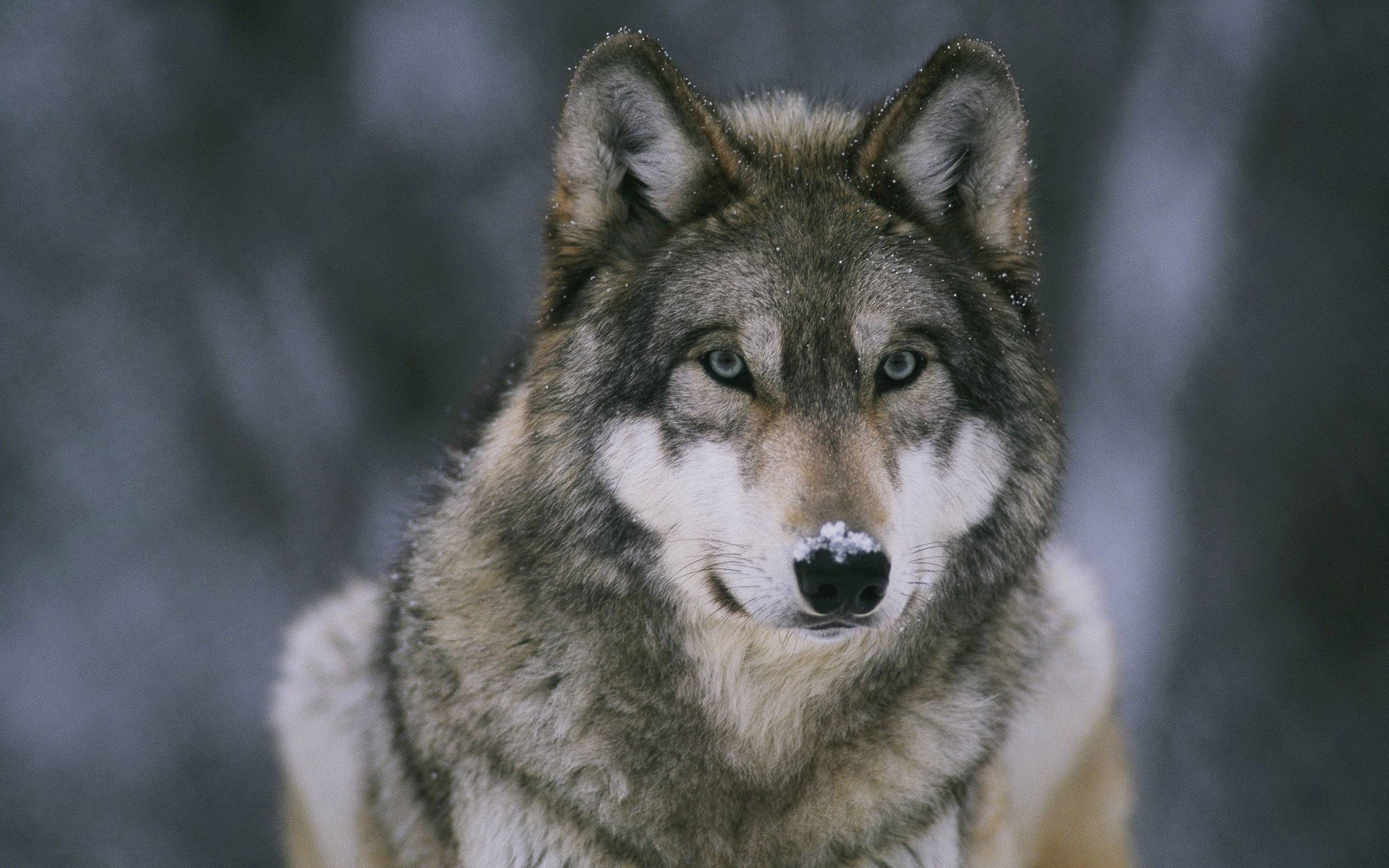 Wolf Wallpapers – Full HD wallpaper search