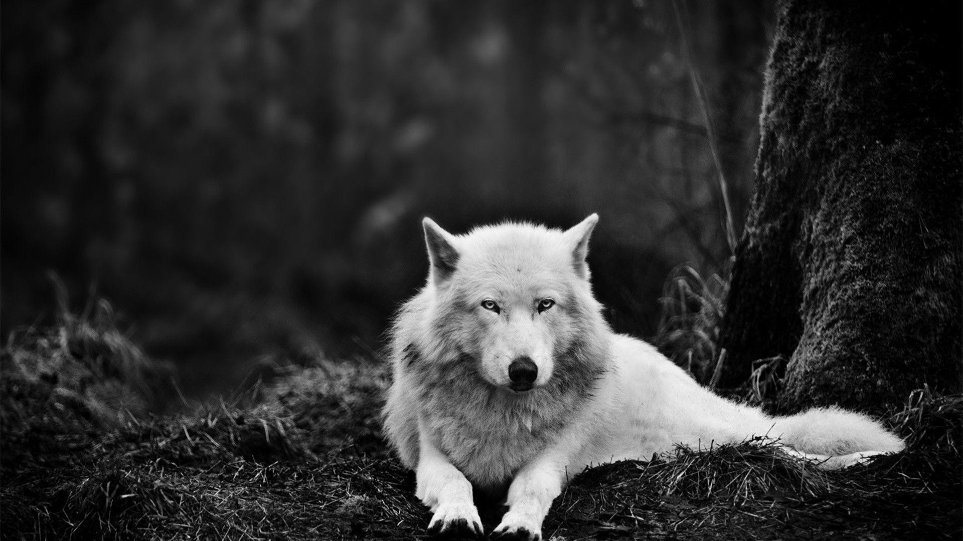 wolf-wallpapers-hd-HD5-600×338