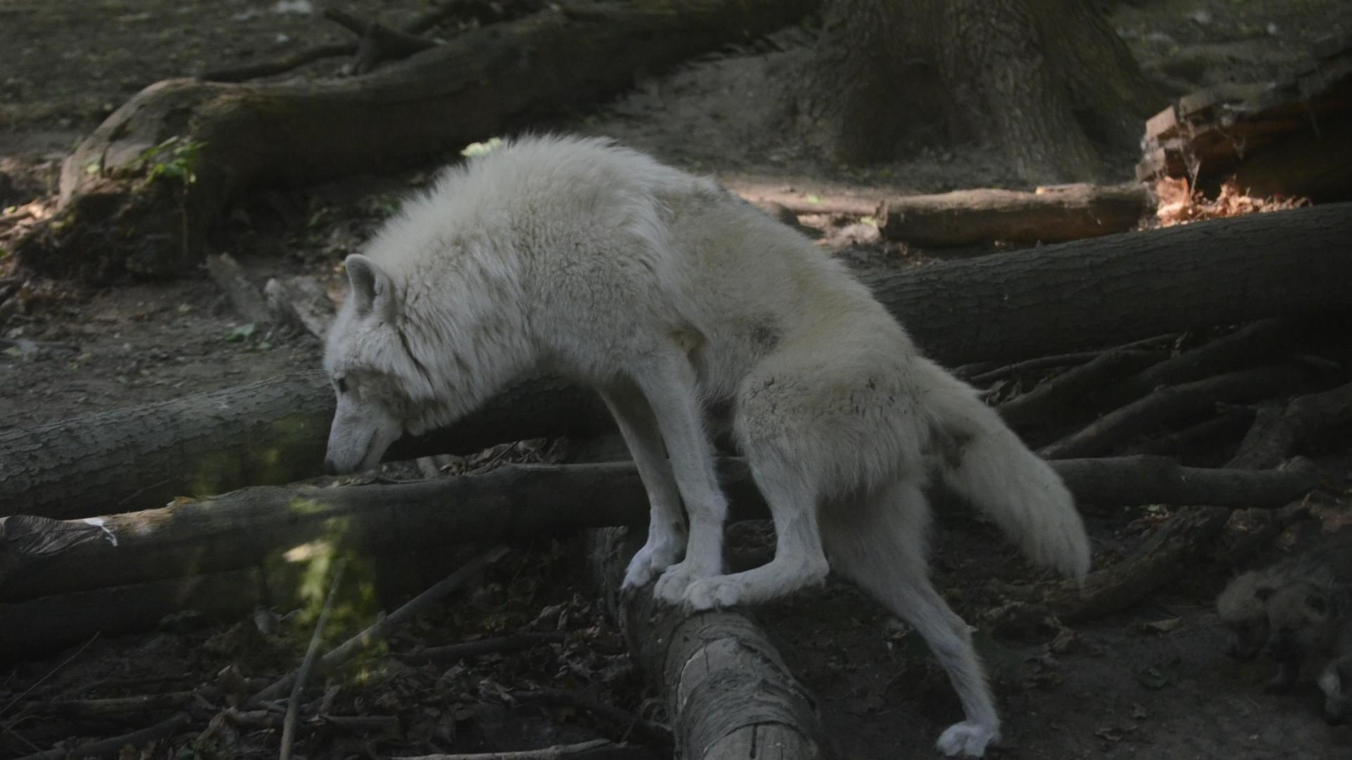 White wolf – (#146491) – High Quality and Resolution Wallpapers on .