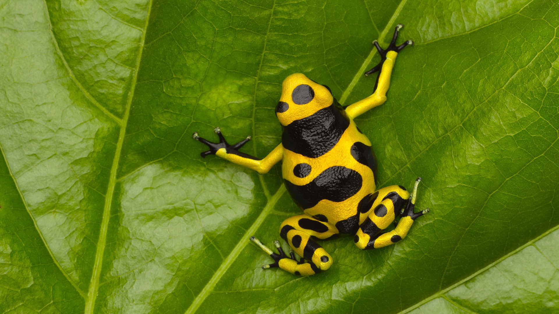 44 Poison dart frog HD Wallpapers   Backgrounds – Wallpaper Abyss – Page 2