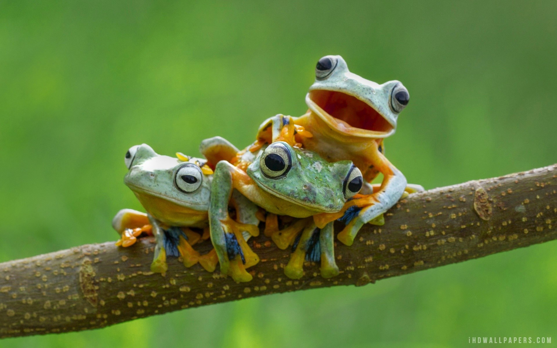 Tree Frog Wallpaper High Quality