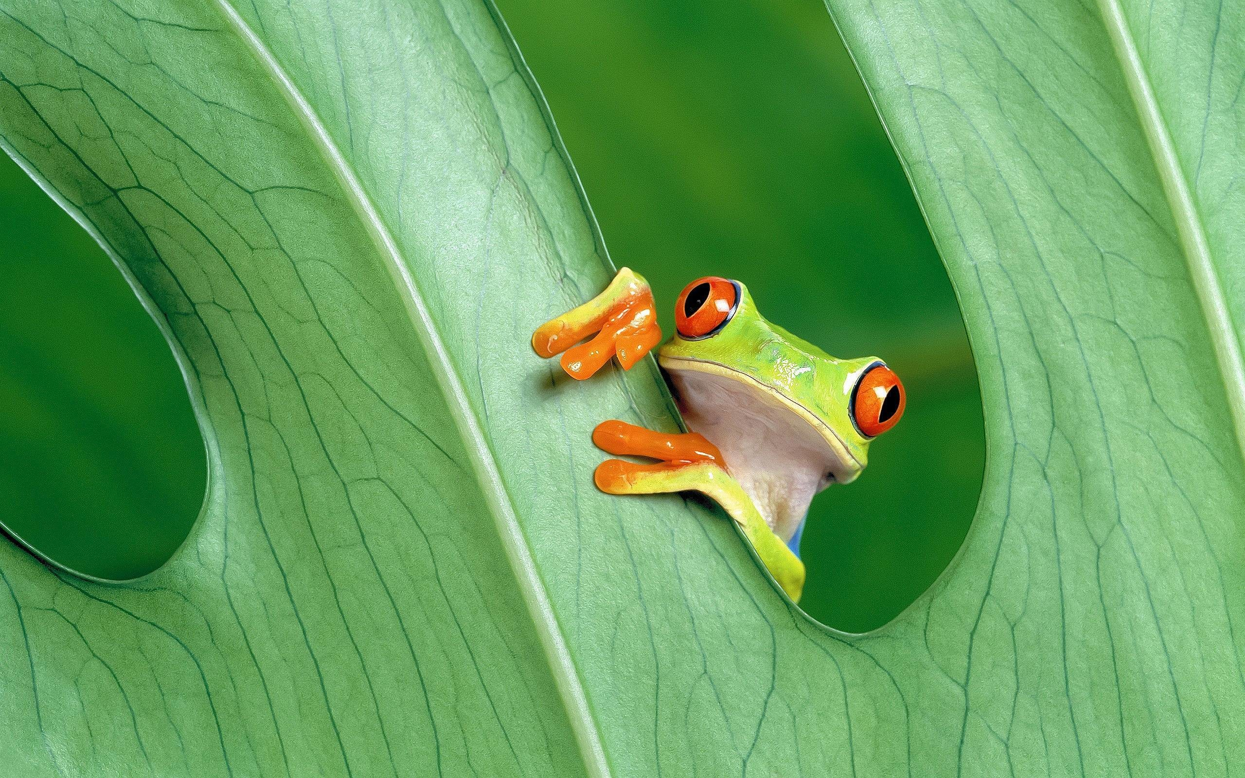 Red Eyed Tree Frog Wallpapers   Pictures
