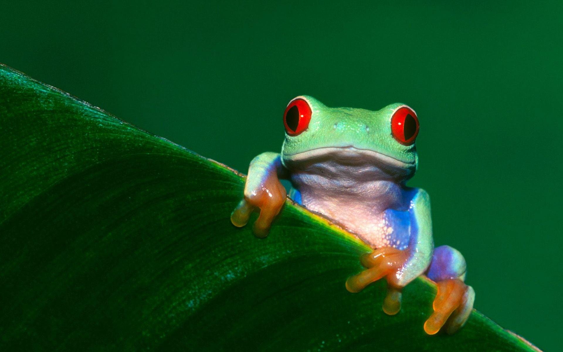 … Tree Frog Wallpapers HD …