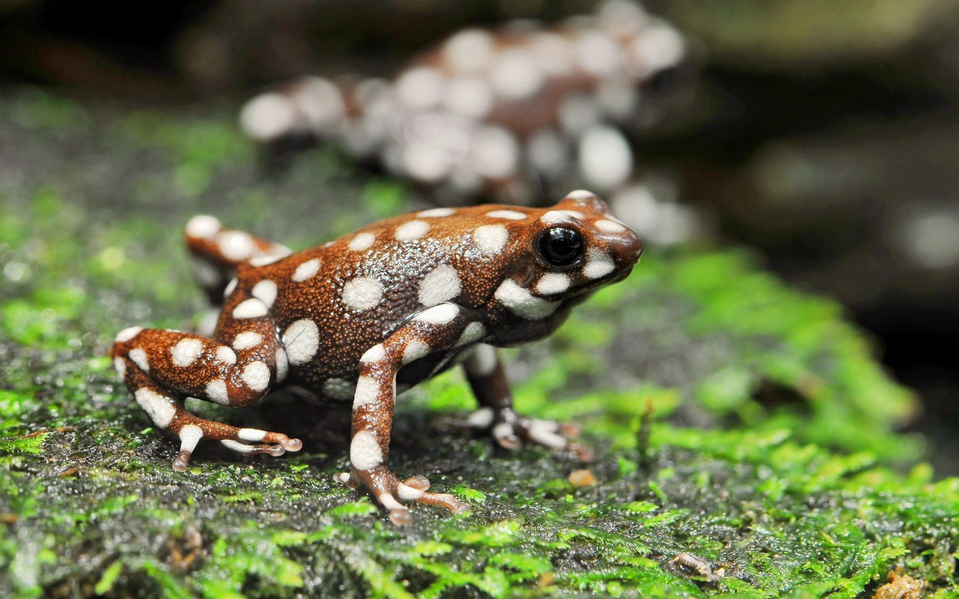 Poison Frog Wallpaper Desktop