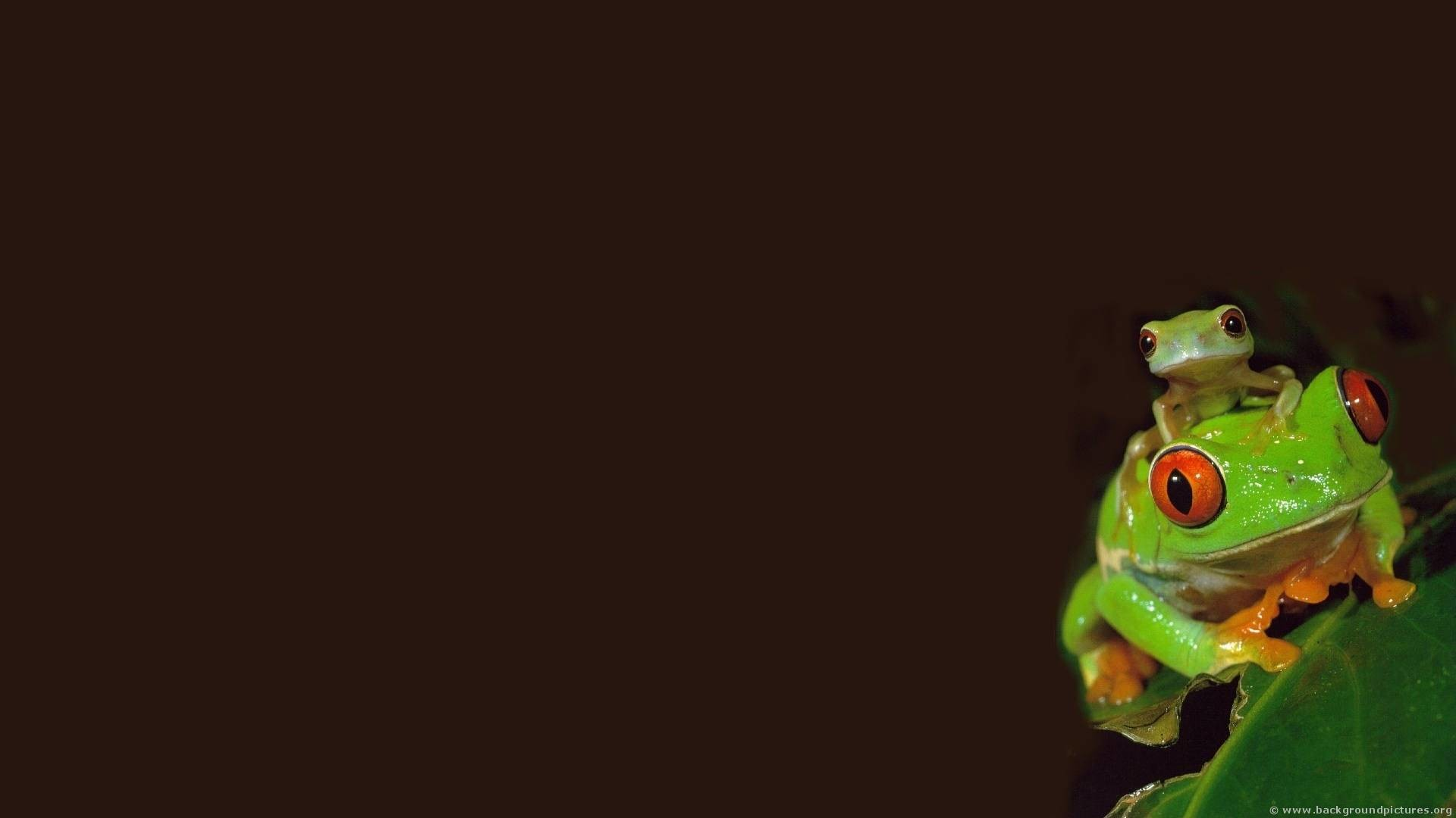 Frog HD Wallpapers   High Quality Wallpapers