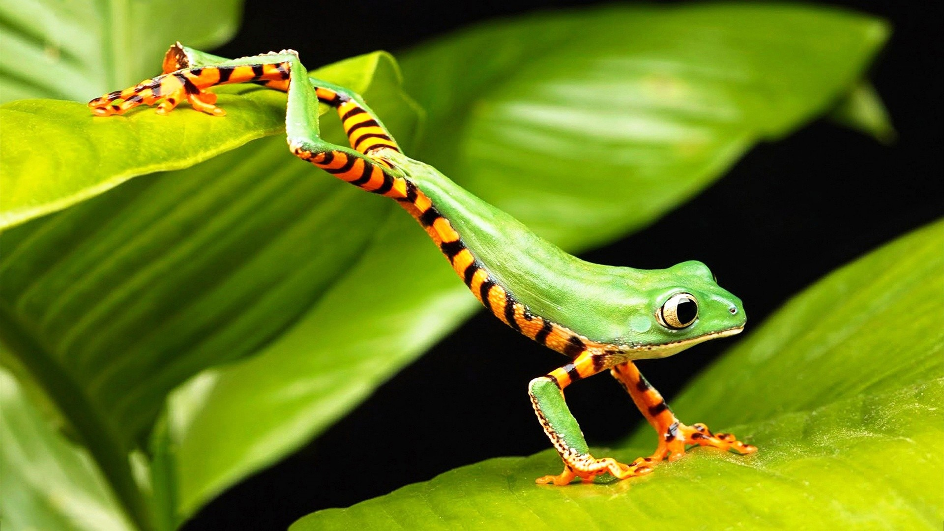 Tree Frog Wallpapers HD Resolution