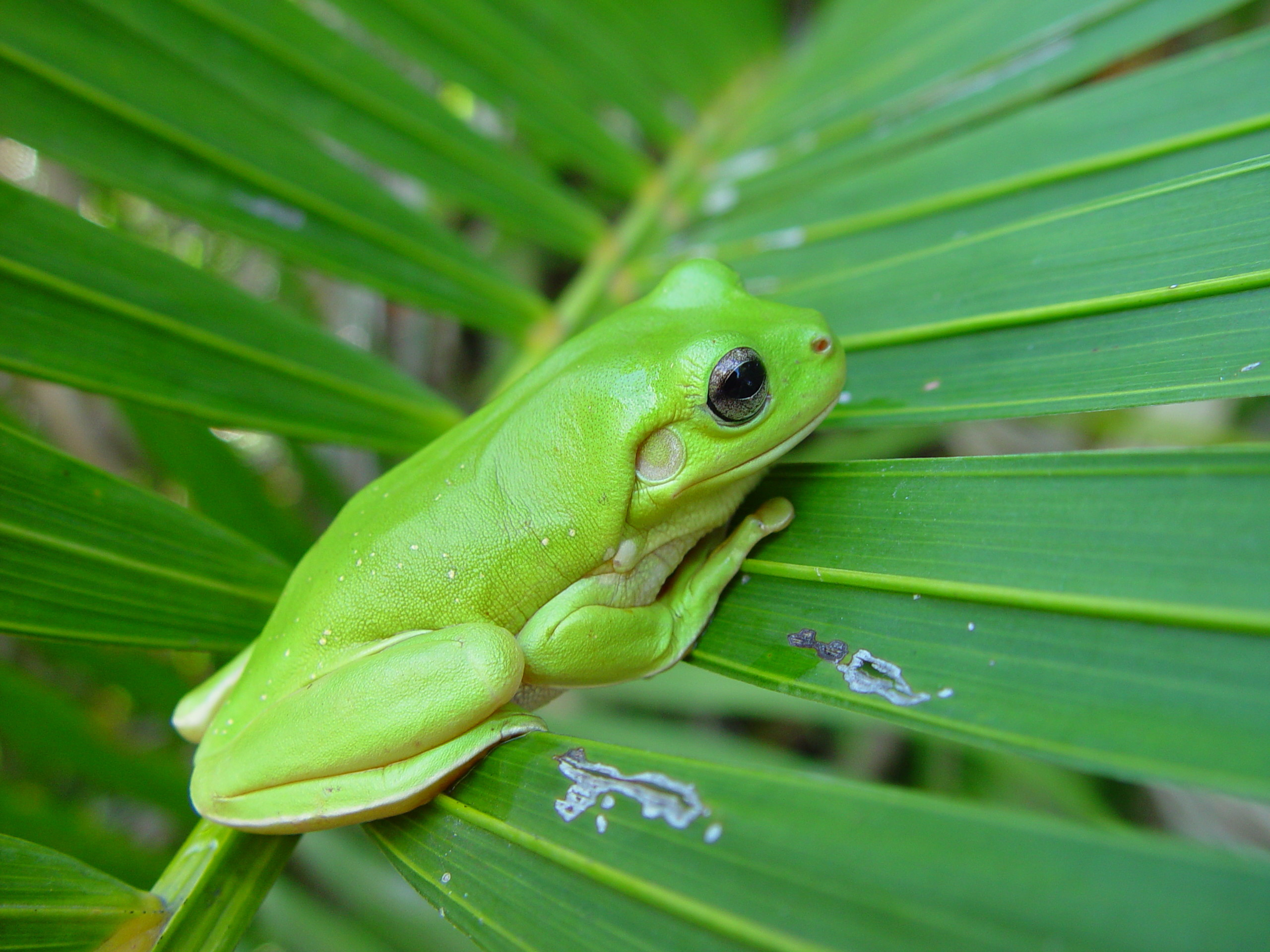 Tree Frog Wallpapers Picture with High Definition Wallpaper