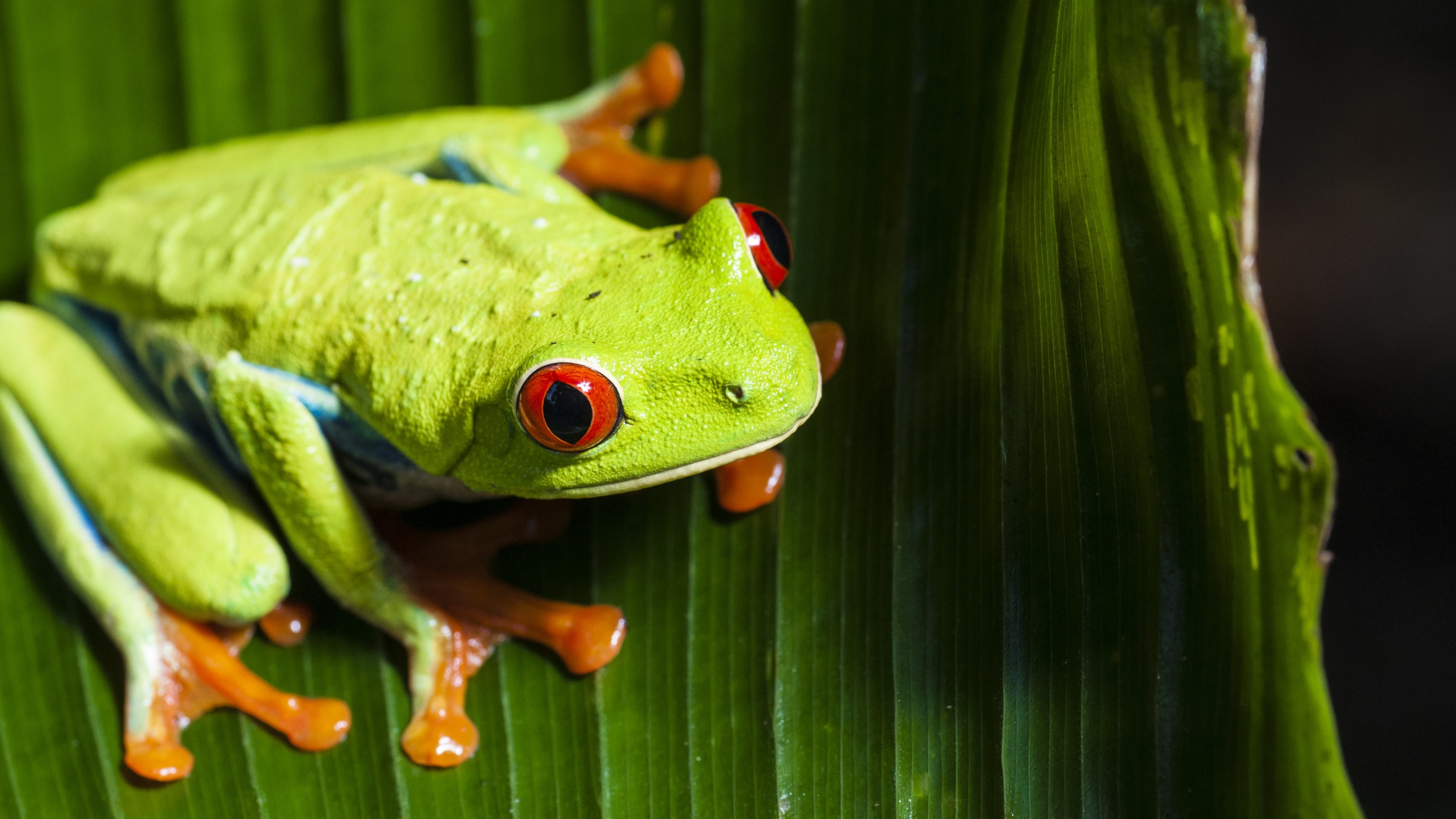 Tree Frog Wallpapers Background