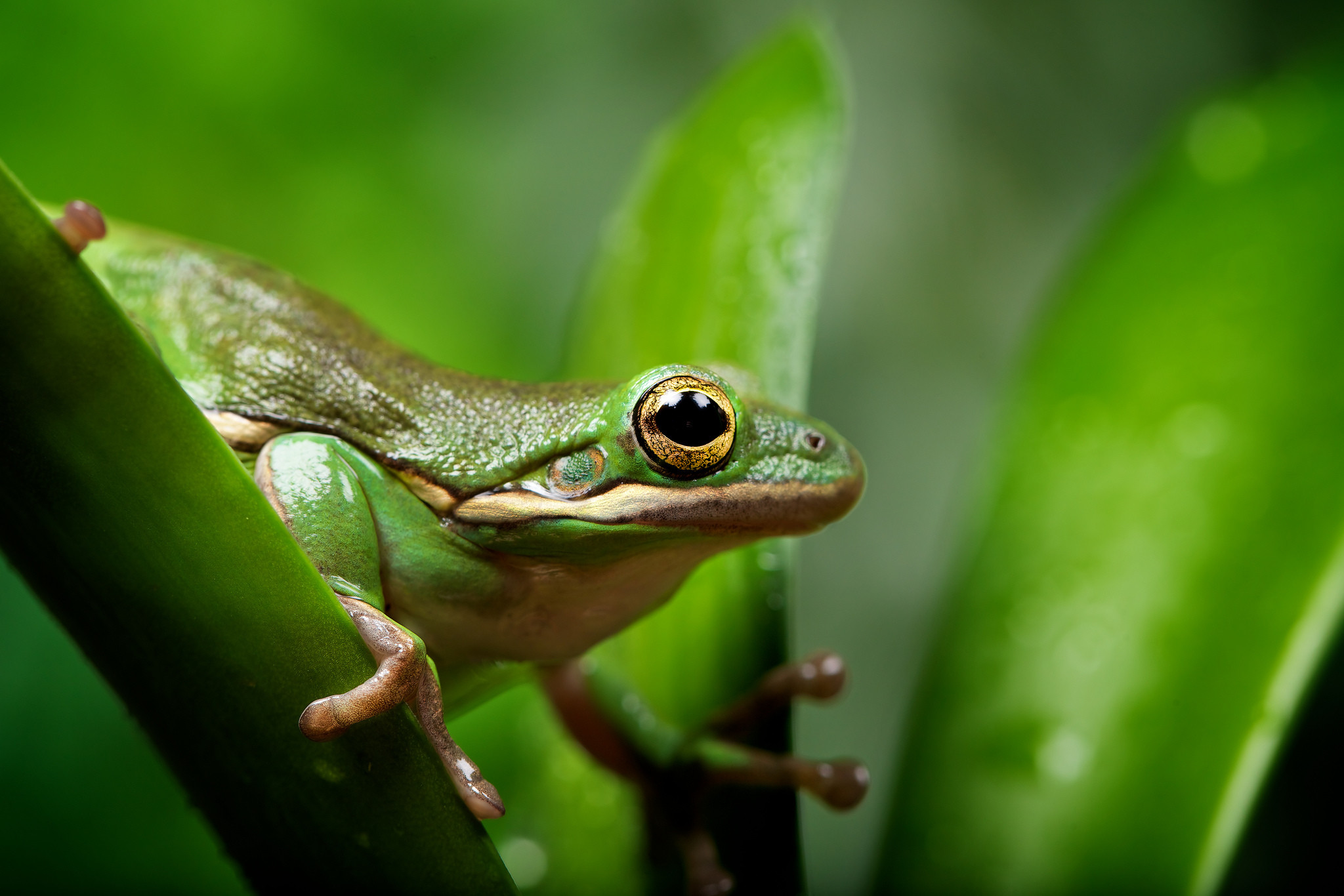 28 Excellent HD Frog Wallpapers