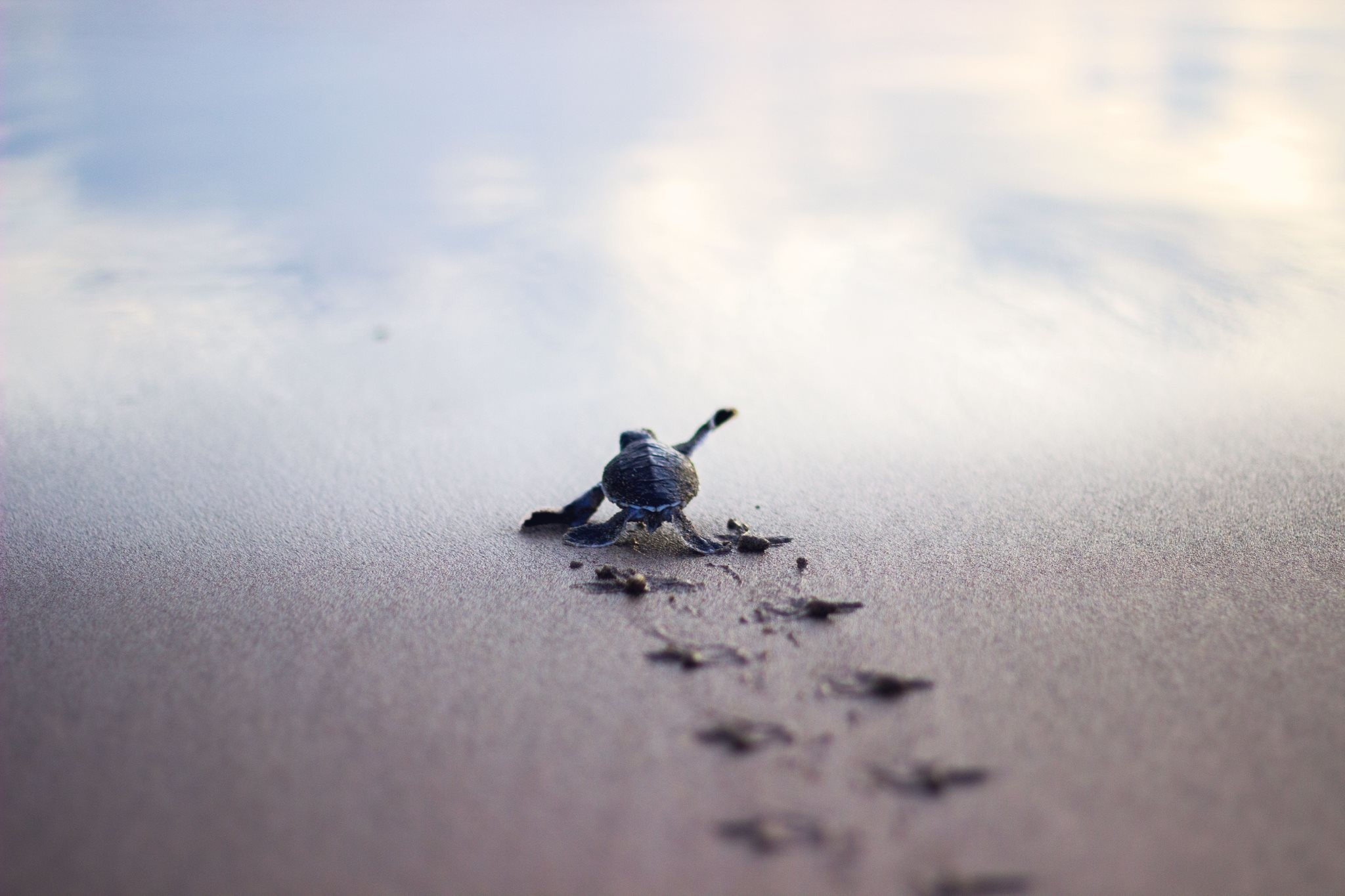 Baby turtle running to the safety of the sea shore : pics