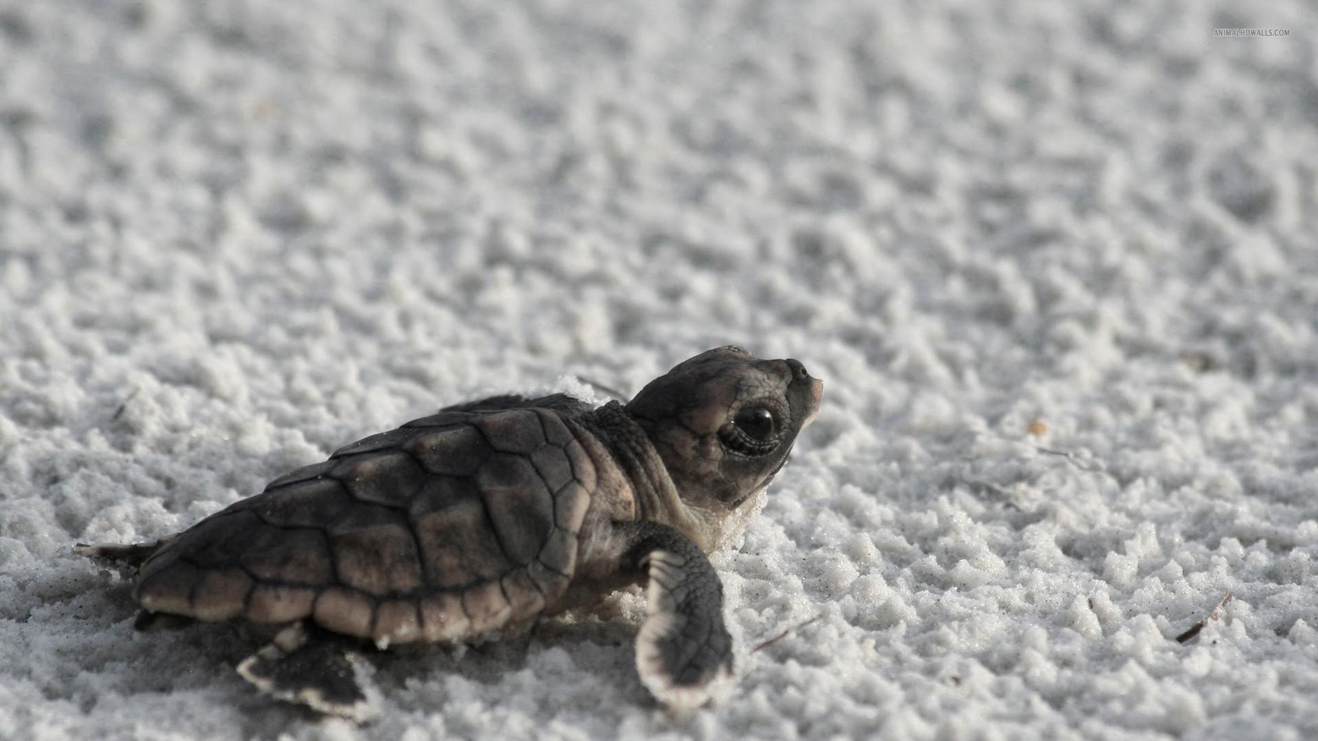 Bing Baby Turtle wallpapers (63 Wallpapers)