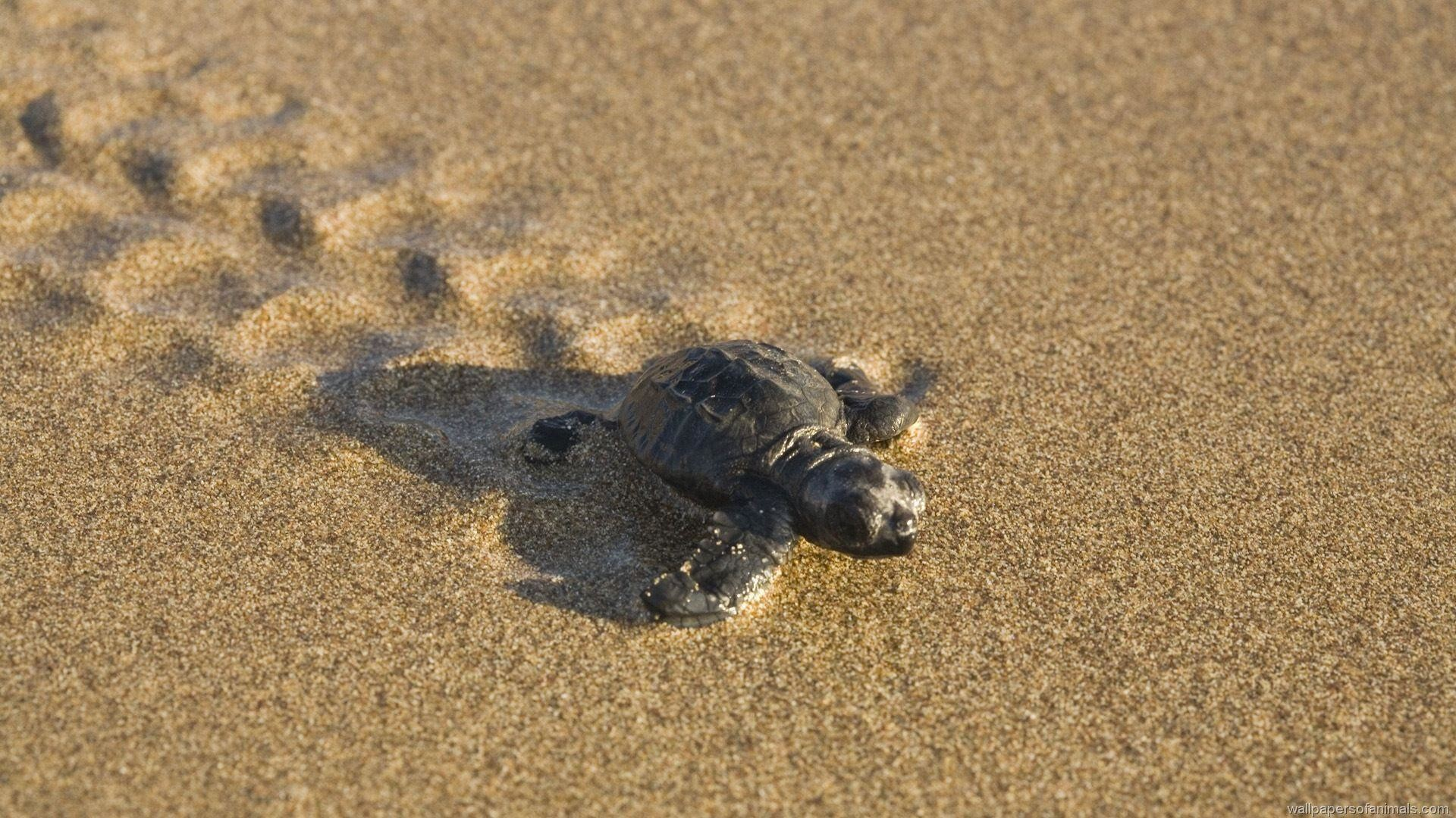 Pin Baby Turtle Wallpaper on Pinterest